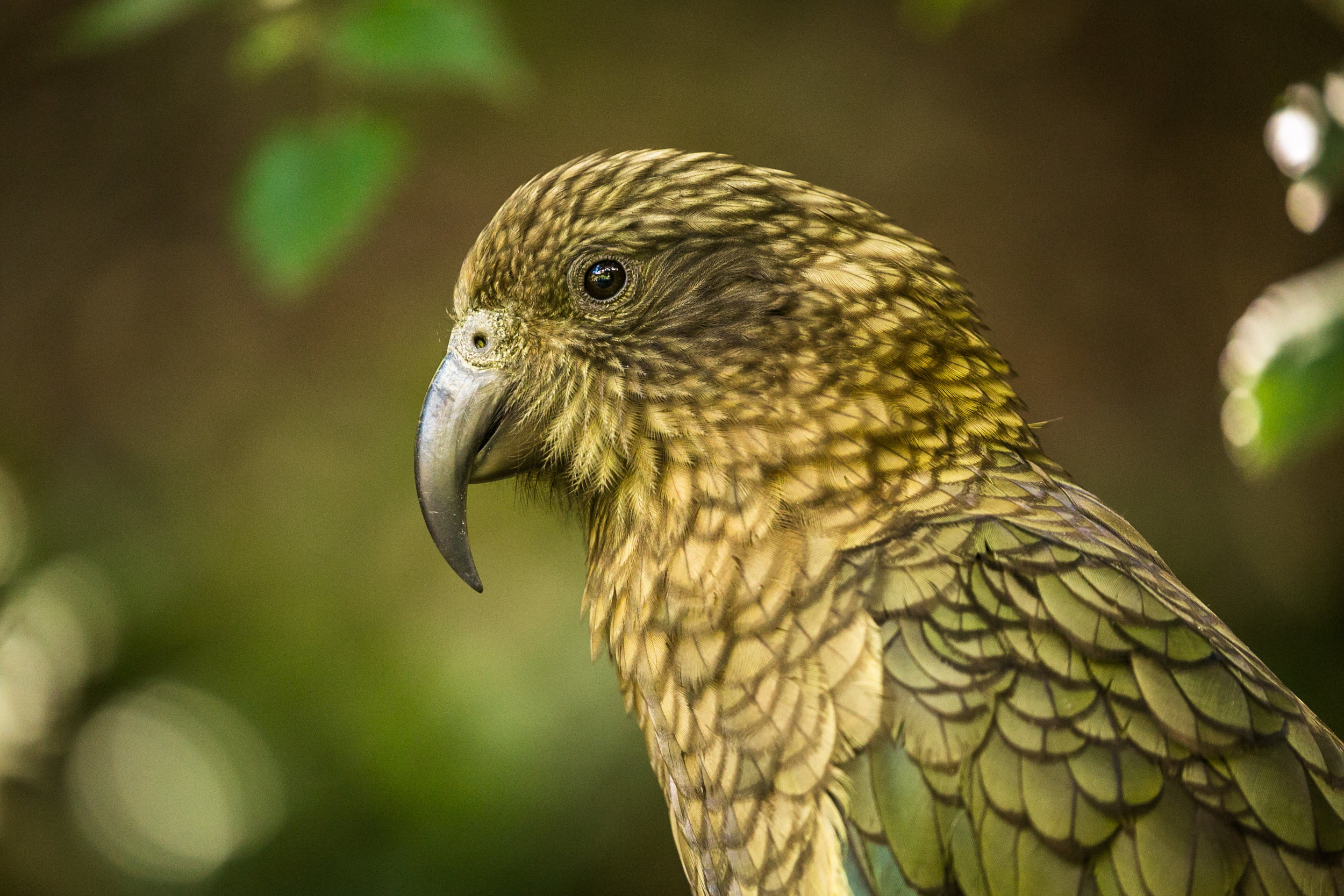 kea (Nestor notabilis) - This is the only alpine parrot in the world, a very intelligent and curious bird species. Their numbers dropped from 150,000 to 5,000 in the 20th century when the New Zealand government used to pay bounties for hunters to kill kea, due to concerns that the birds kill sheep. Now, since 1986, they have been strictly protected under New Zealand's Wildlife Act.
