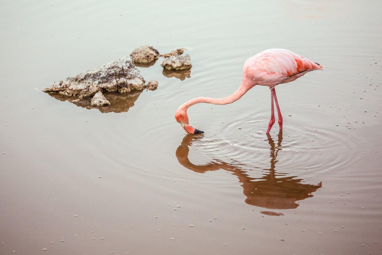 Greater flamingo feeding in a salt-water lagoon on the Isabela Island