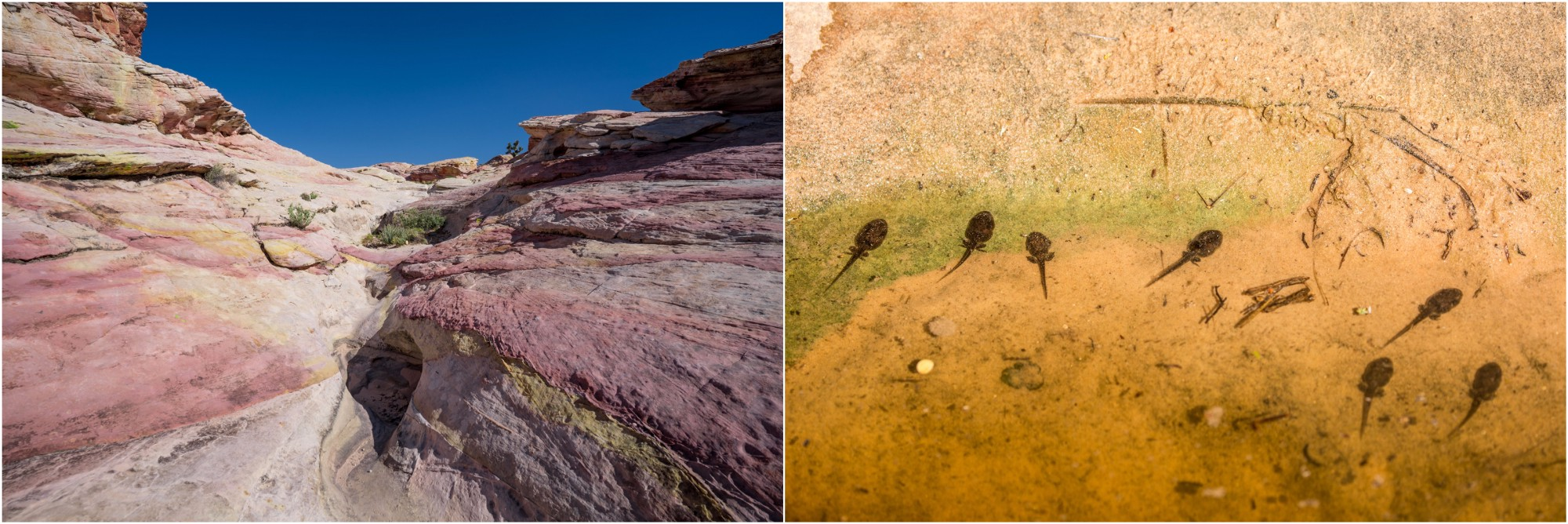 """- Left: the colors of these rocks are painted by the interaction between water and minerals. The small pools, called """"tinajas"""", temporarily hold water which brings life to this dry environment. Right: Tadpoles in one of the tinajas that still had water."""