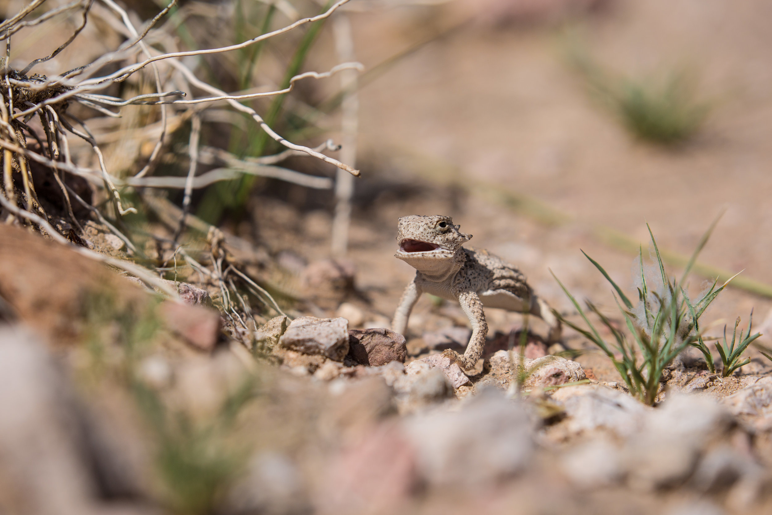 Horned lizard in the Desert Peaks section of the Organ Mountains Desert Peaks National Monument