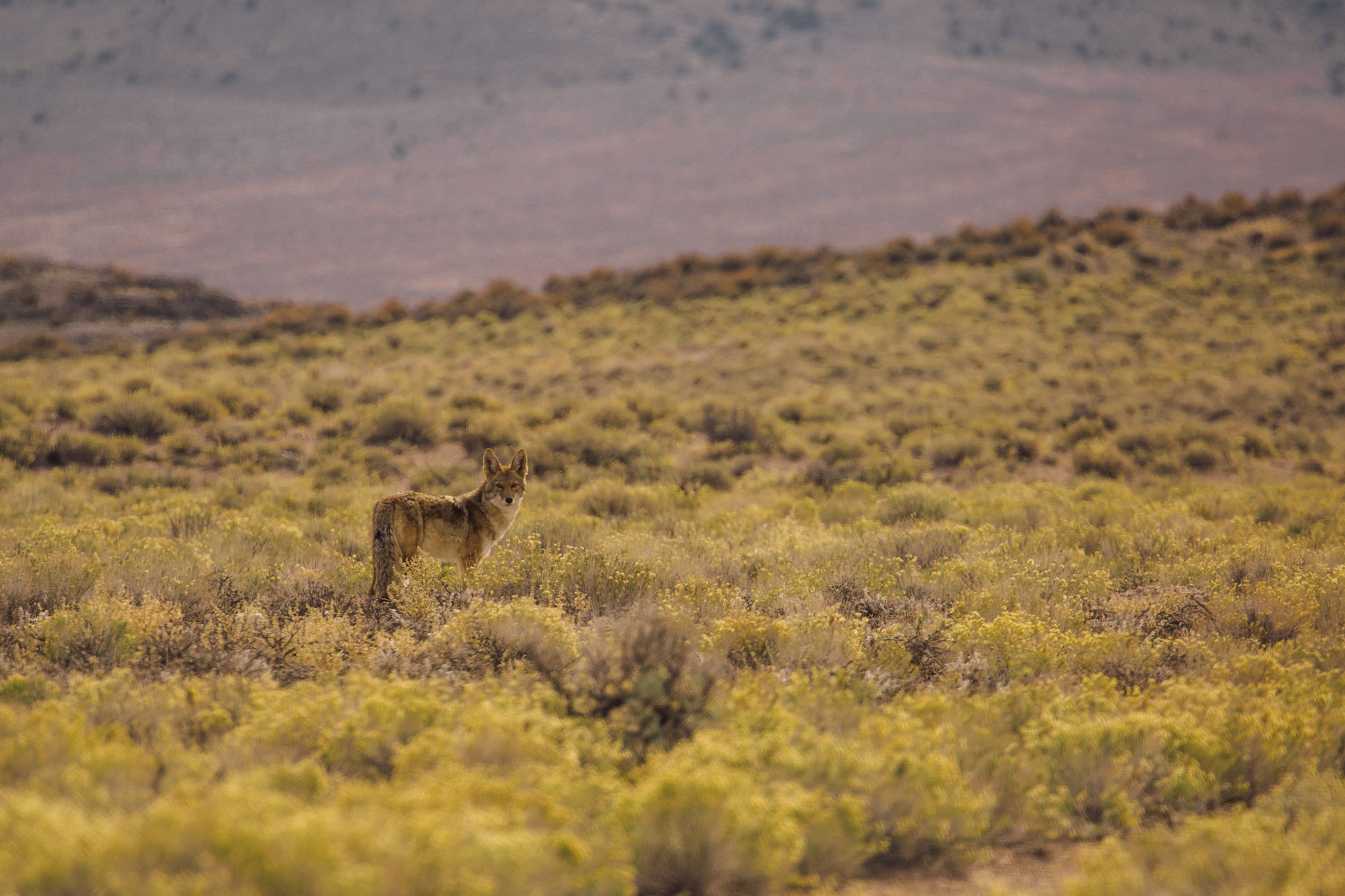 Coyote in Basin and Range National Monument, Nevada