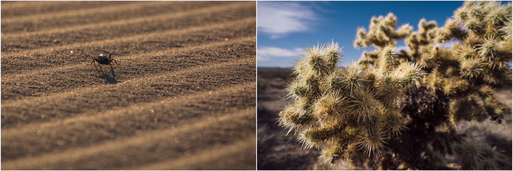 - Left: a Pinacate beetle on its way to cross a massive sand dune. They never drink water, instead they extract the necessary fluids from fungus and decaying vegetation that they consume. When approached, you might see them do a strange headstand; that's a defense mechanism to deter predators, as they release into the air a sticky, noxious substance that is hard to remove. If you're bent over one as it's doing the headstand, you might want to reconsider your position. Right: The Cholla cactus looks more like a fluffy teddy bear, but its spines are some of the hardest to remove. Within the Mojave Trails National Monument, the Bigelow Cholla Garden Wilderness harbors the largest density of Cholla cacti in California.