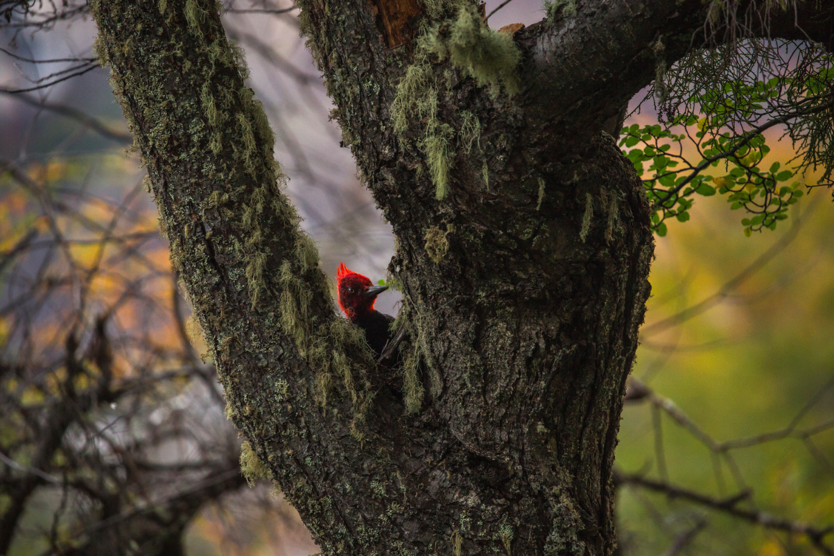 male Magellanic woodpecker (Campephilus magellanicus) - A male Magellanic woodpecker in the Jeinimeni National Reserve. They are South America's largest species of woodpecker, and range along the Andes of Chile and southern Argentina.