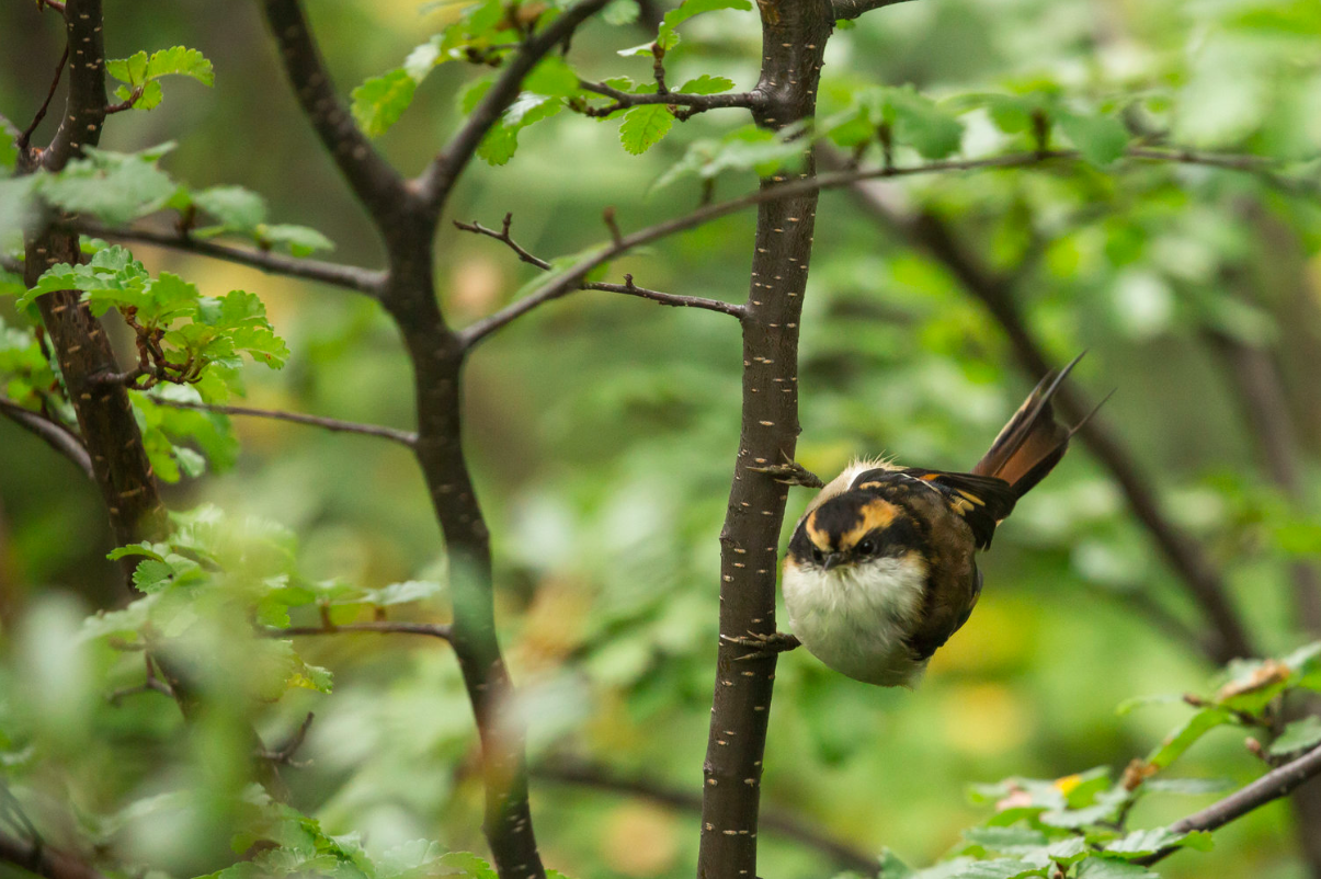 Thorn-tailed rayadito (Aphrastura spinicauda) - These small noisy birds are often seen in small groups in trees while on hikes. They are usually seen in flocks of 4-7 birds and feed together on insects from tree to tree.