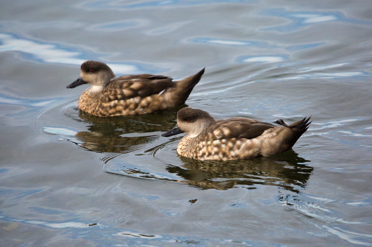 Patagonian crested ducks (Lophonetta specularioides specularioides) - A pair of Patagonian crested ducks in the Strait of Magellan.