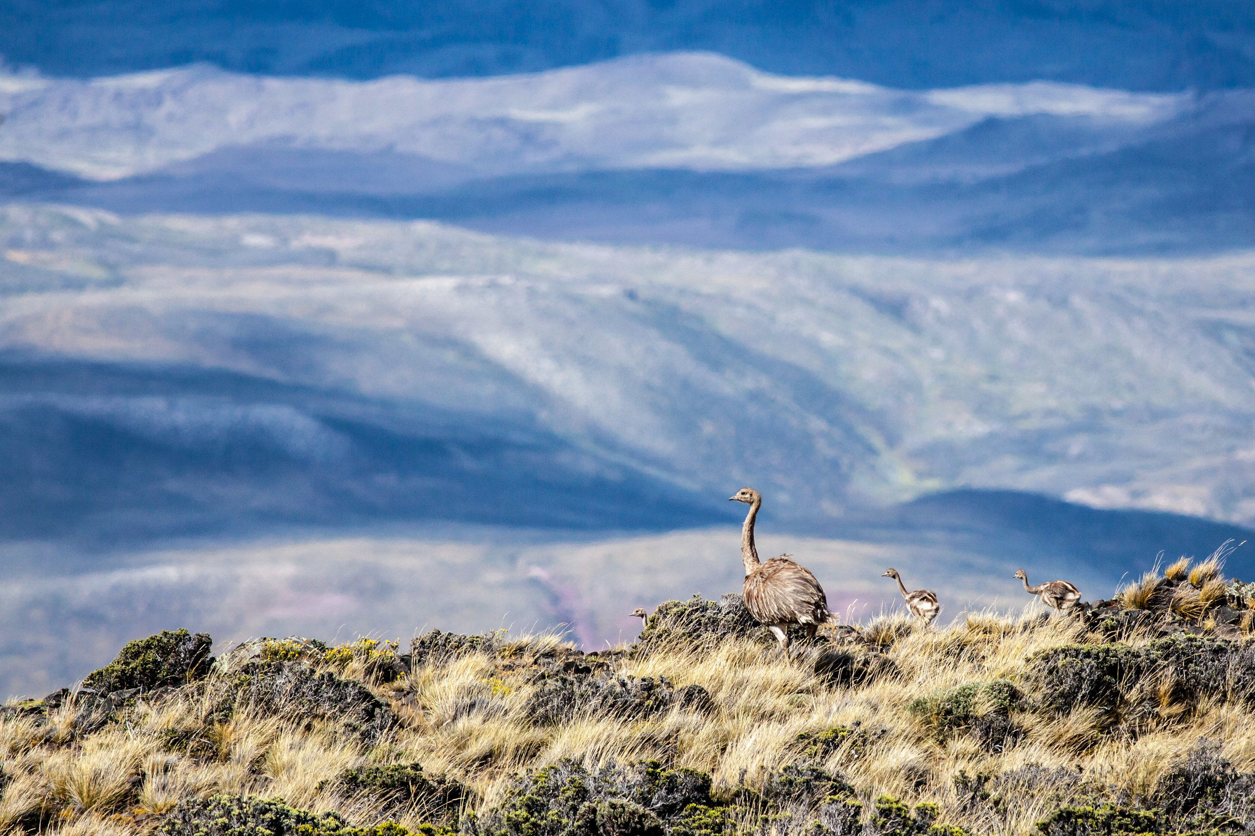 A male Darwin rhea/ñandú with two of its chicks in Patagonia Park