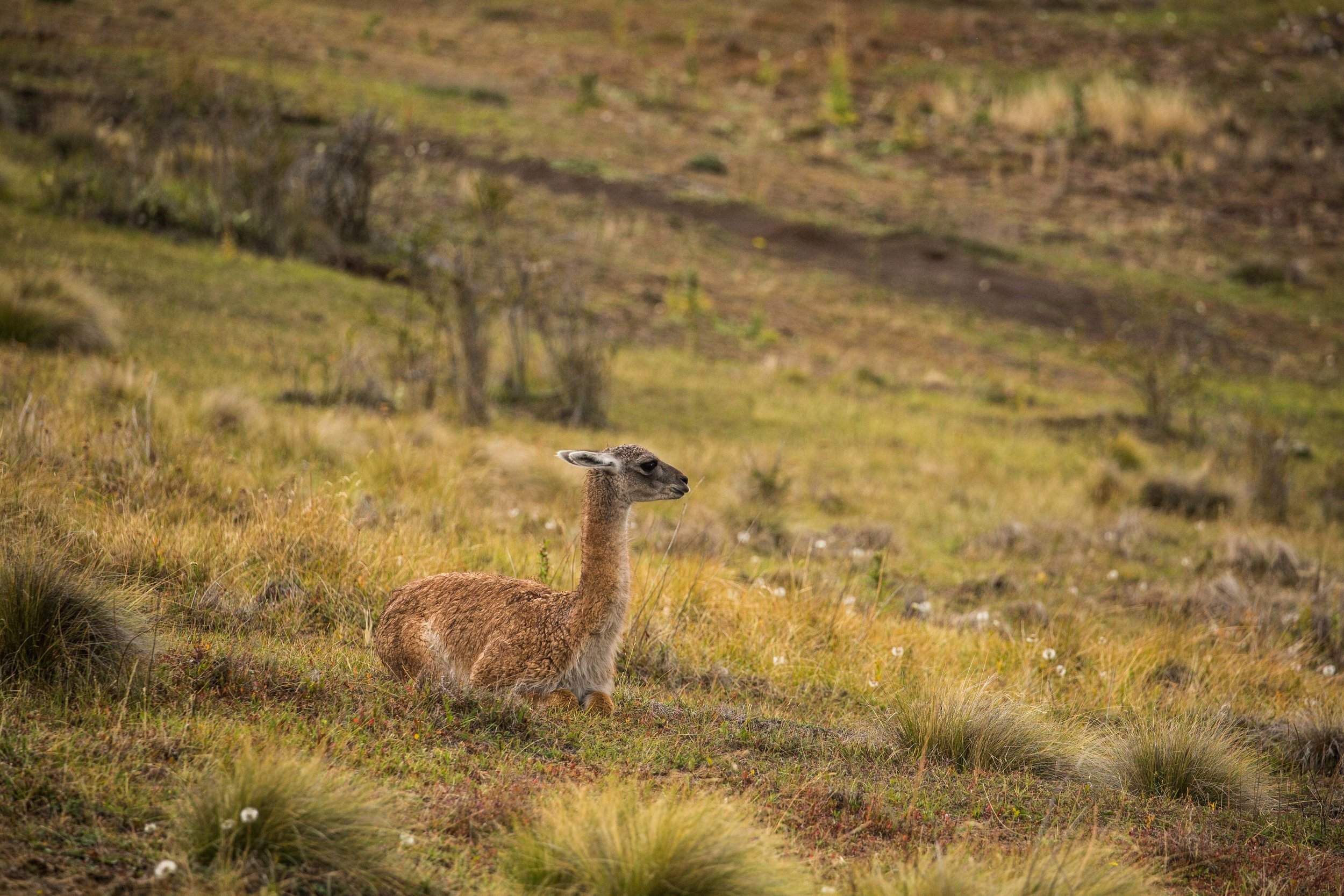 Young guanaco taking a break from grazing