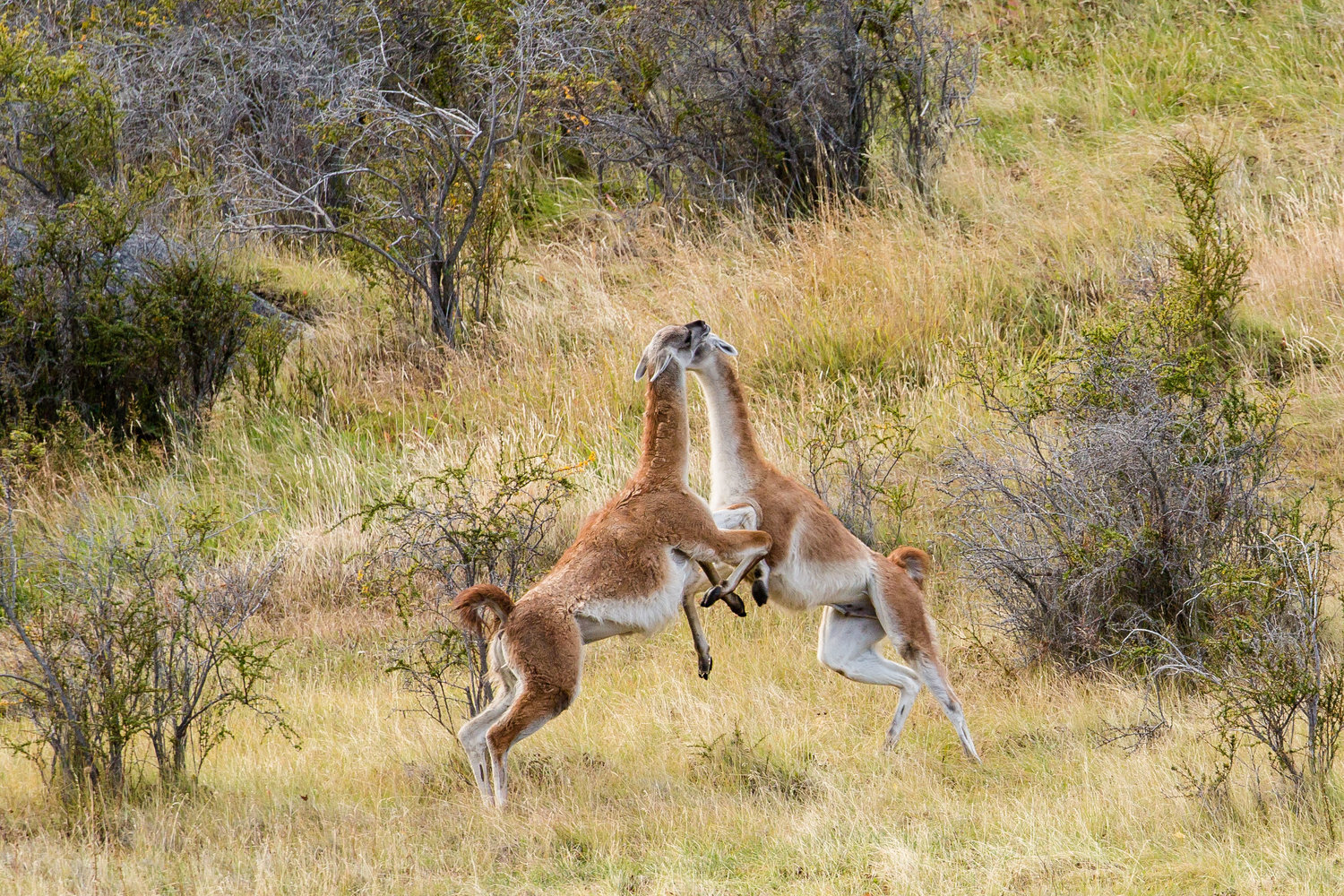 - Two male guanacos sparring for dominance