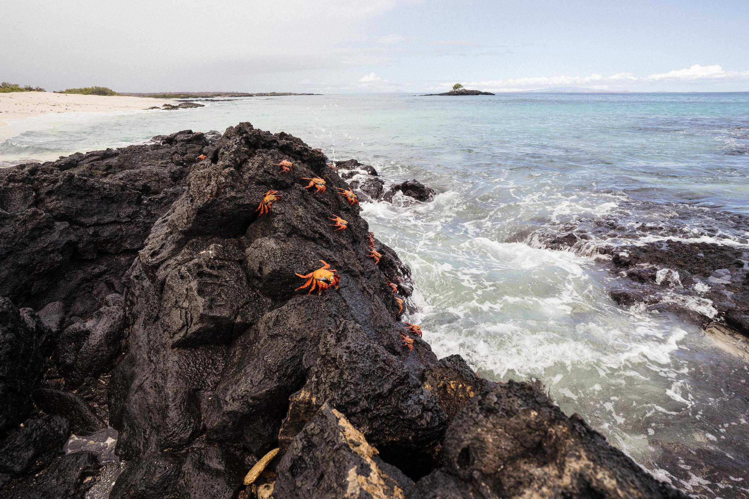 Sally Lightfoot crabs at Las Bachas Beach on the north side of Santa Cruz Island, Galápagos