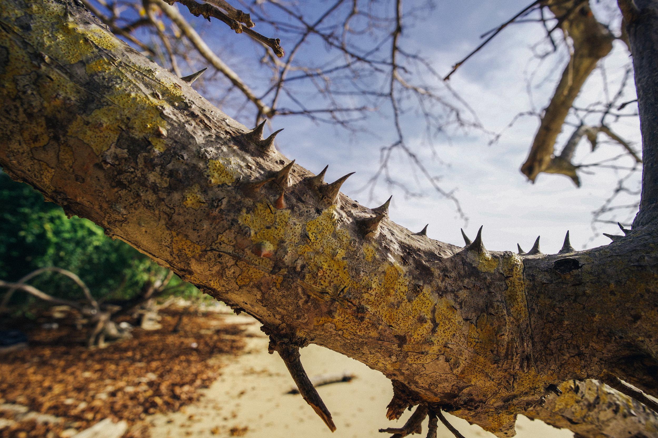 - A mild example of the thorny trees on Isla Chapera