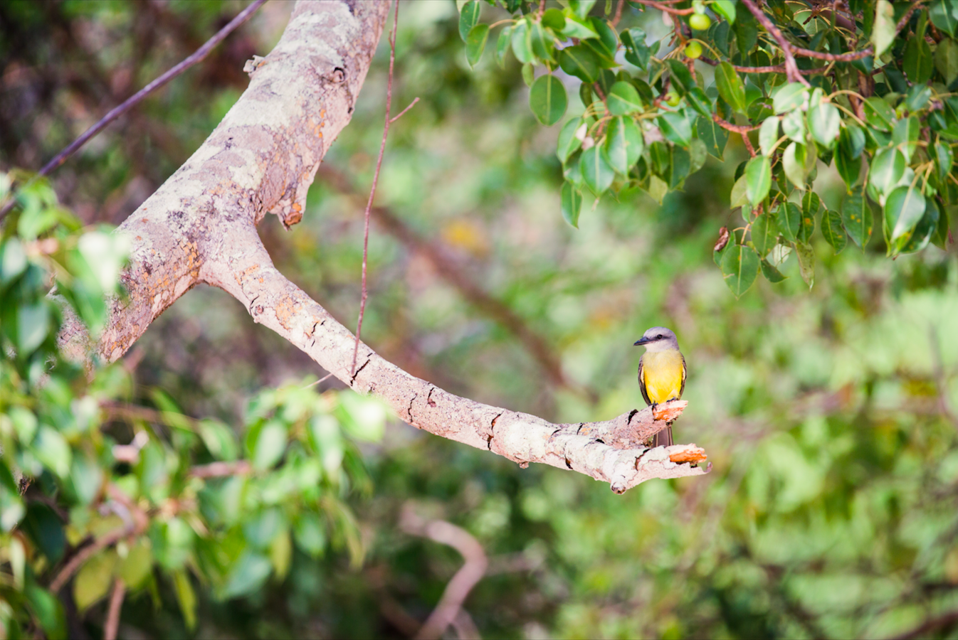 - A Tropical kingbird — Isla Chapera