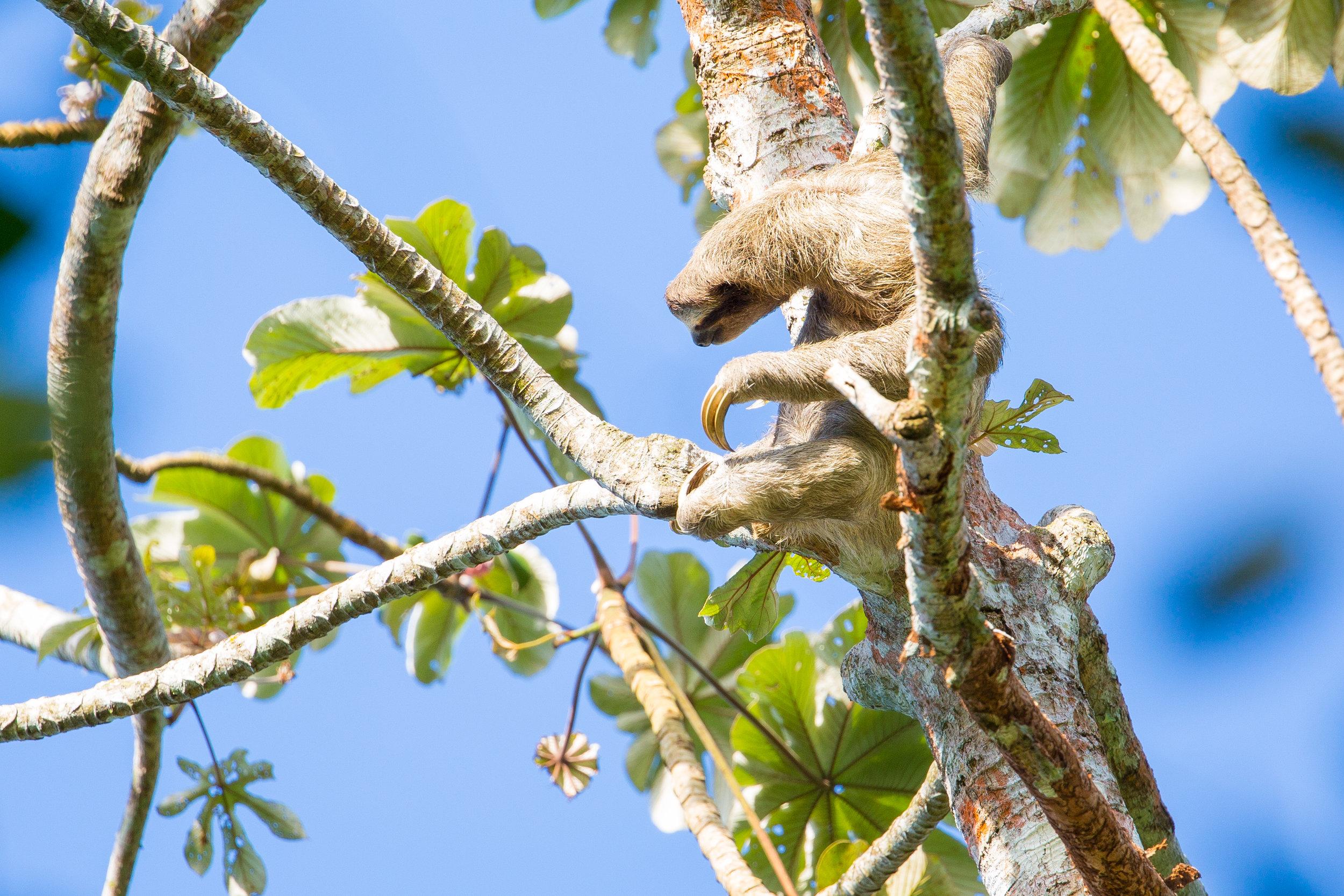 Brown-throated sloth   ( Bradypus variegatus )
