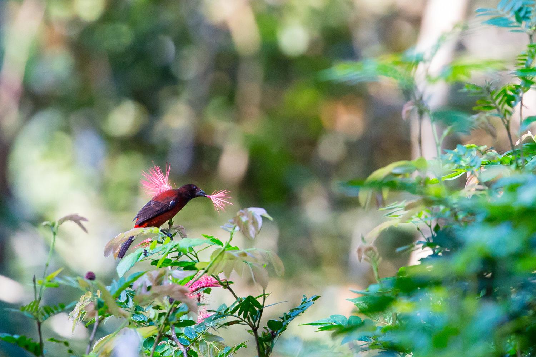 Crimson-backed Tanager (Ramphocelus dimidiatus) -