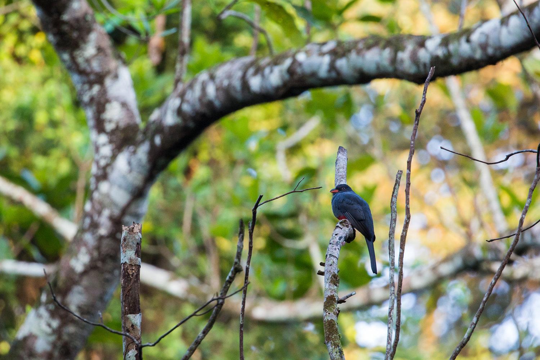 Slaty-tailed Trogon (Trogon massena) -