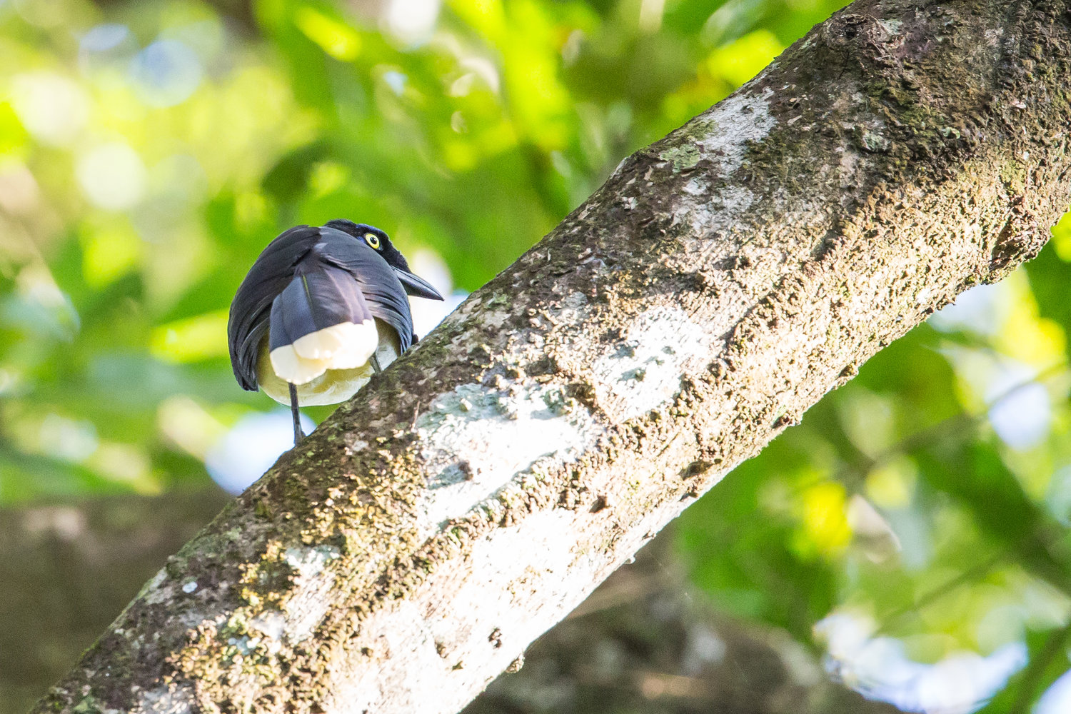 Black-chested Jay (Cyanocorax affinis) -