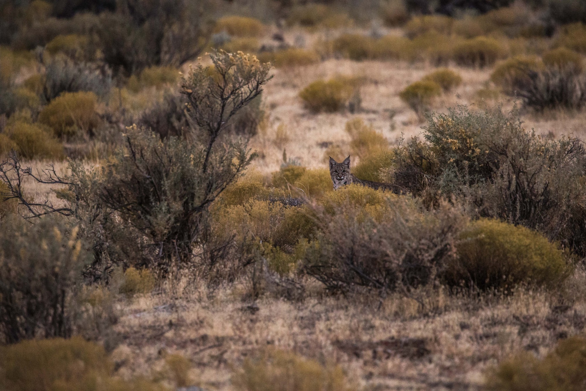 - A bobcat after sunset right below the Straight Cliffs formation, at the eastern edge of the Kaiparowits Plateau.
