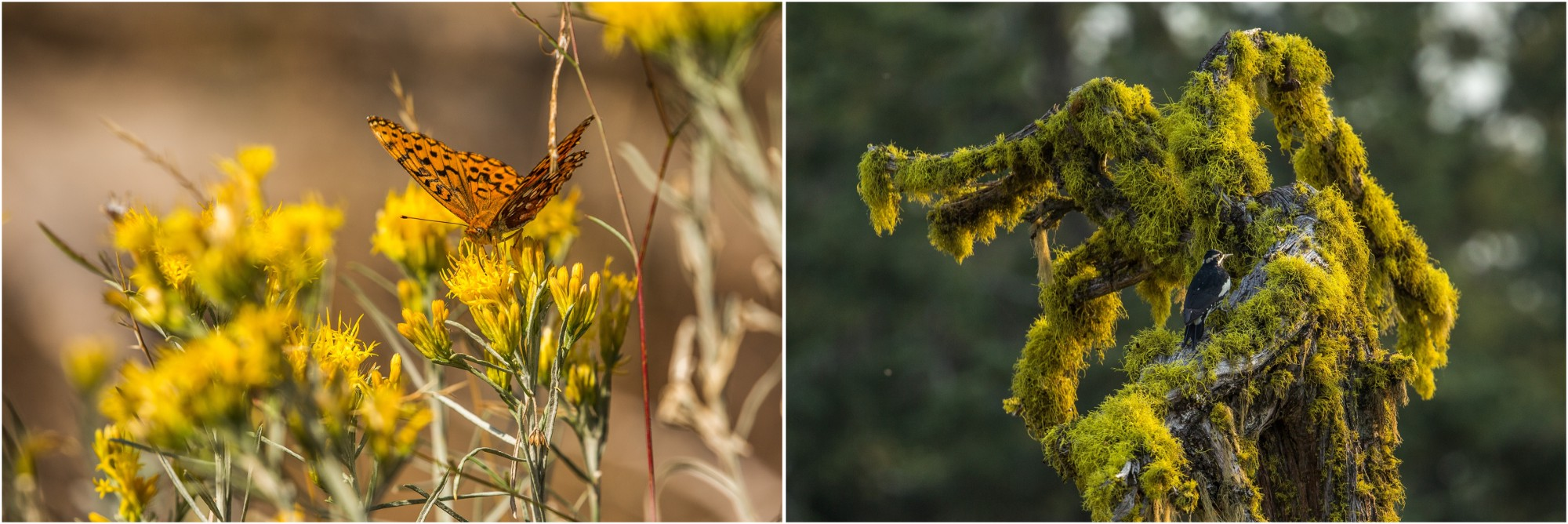 - Left: Cascade-Siskiyou National Monument hosts one of the largest diversities of butterflies in the US. Pictured here is an Atlantis fritillary. Right: A female woodpecker picking through the moss and lichens.