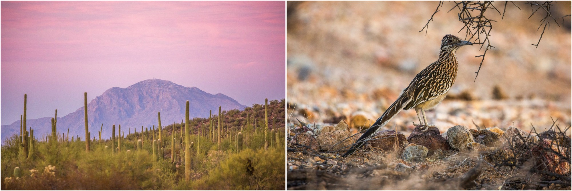 - Left: In the pink light of sunset in Ironwood Forest National Monument, saguaro cacti and ironwoods stretch across a vast landscape. Right: A roadrunner on the side of the dirt road.