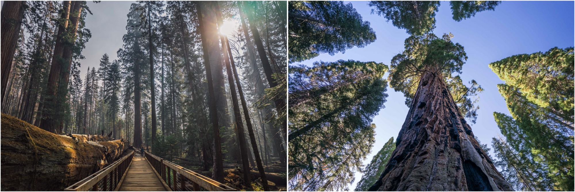 - Left: The morning light filters the smoke from nearby wildfires along the Trail of 100 Giants, in Giant Sequoia National Monument. Right: The Boole Tree in the Converse Basin Grove.