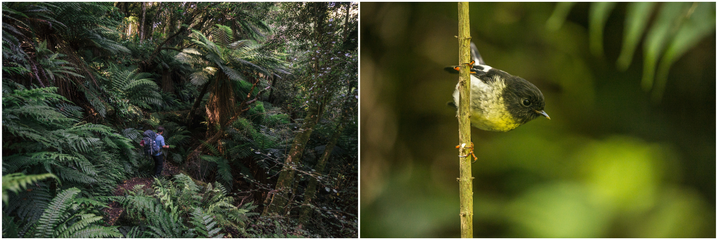 "- Top left: A juvenile tomtit greeting us in the forests above Bluff. Top right: The dense, dark woods of the Longwood Forest Conservation Area. Bottom left: Trees make way to patches of ferns along the Longwood Forest Track. There are approximatley 200 species of ferns in New Zealand, with the most iconic being the silver tree-fern. Bottom right: A male tomtit, known by its Māori name as ""miromiro"". They are mostly forest and brush dwellers, seldom seen in open-country farmland."