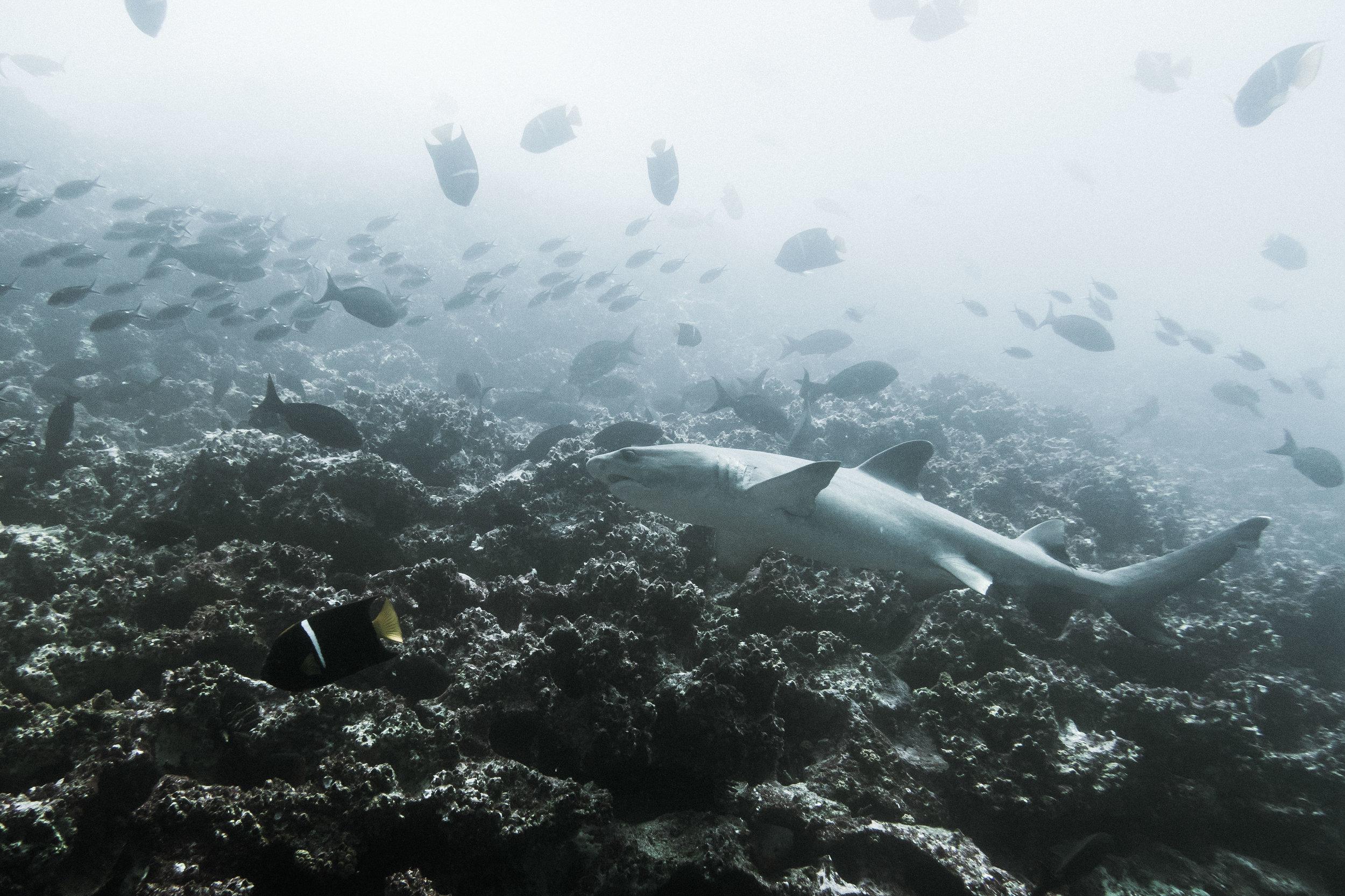 galapagos-shark.jpg