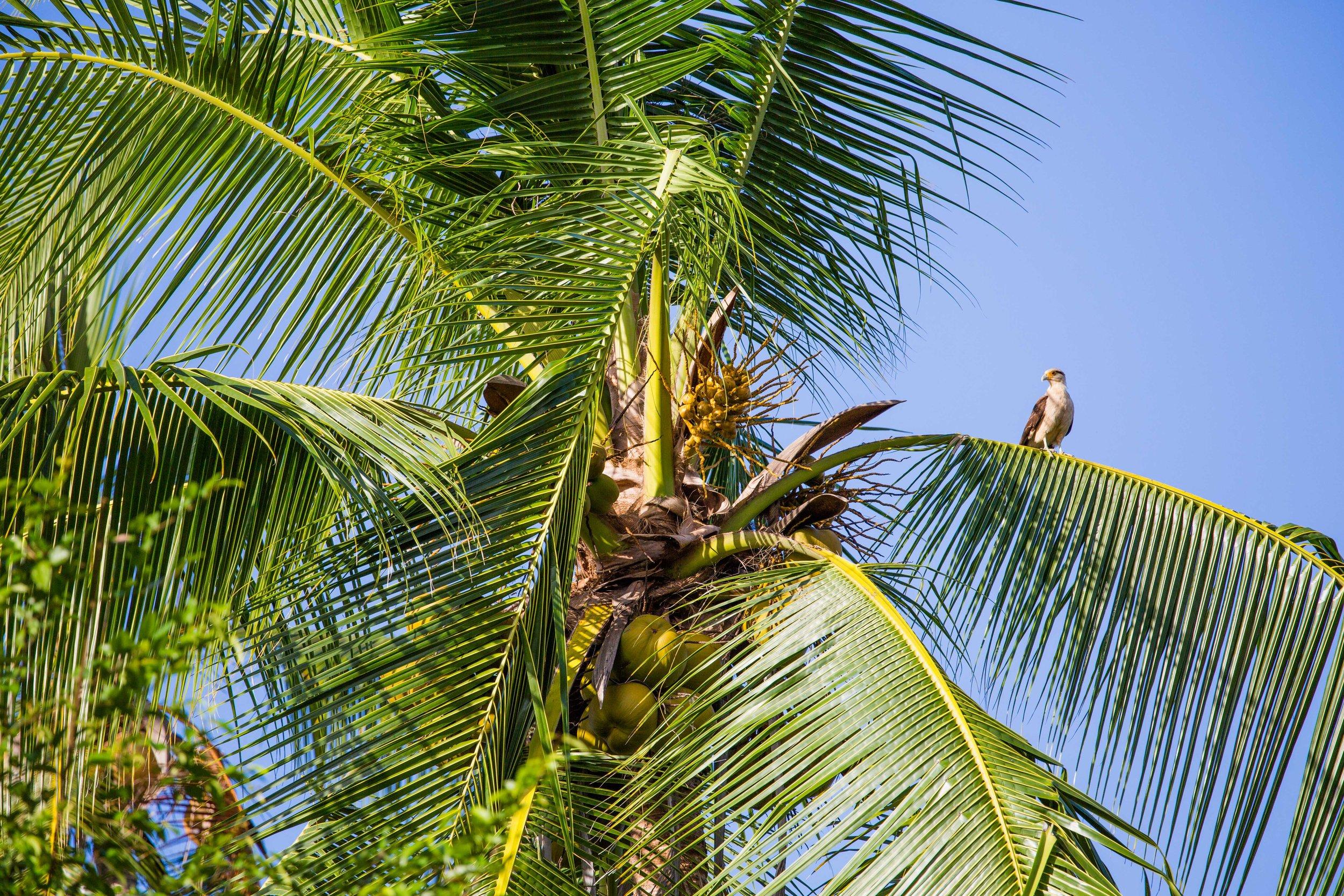 - A Yellow-headed caracara on Isla del Rey