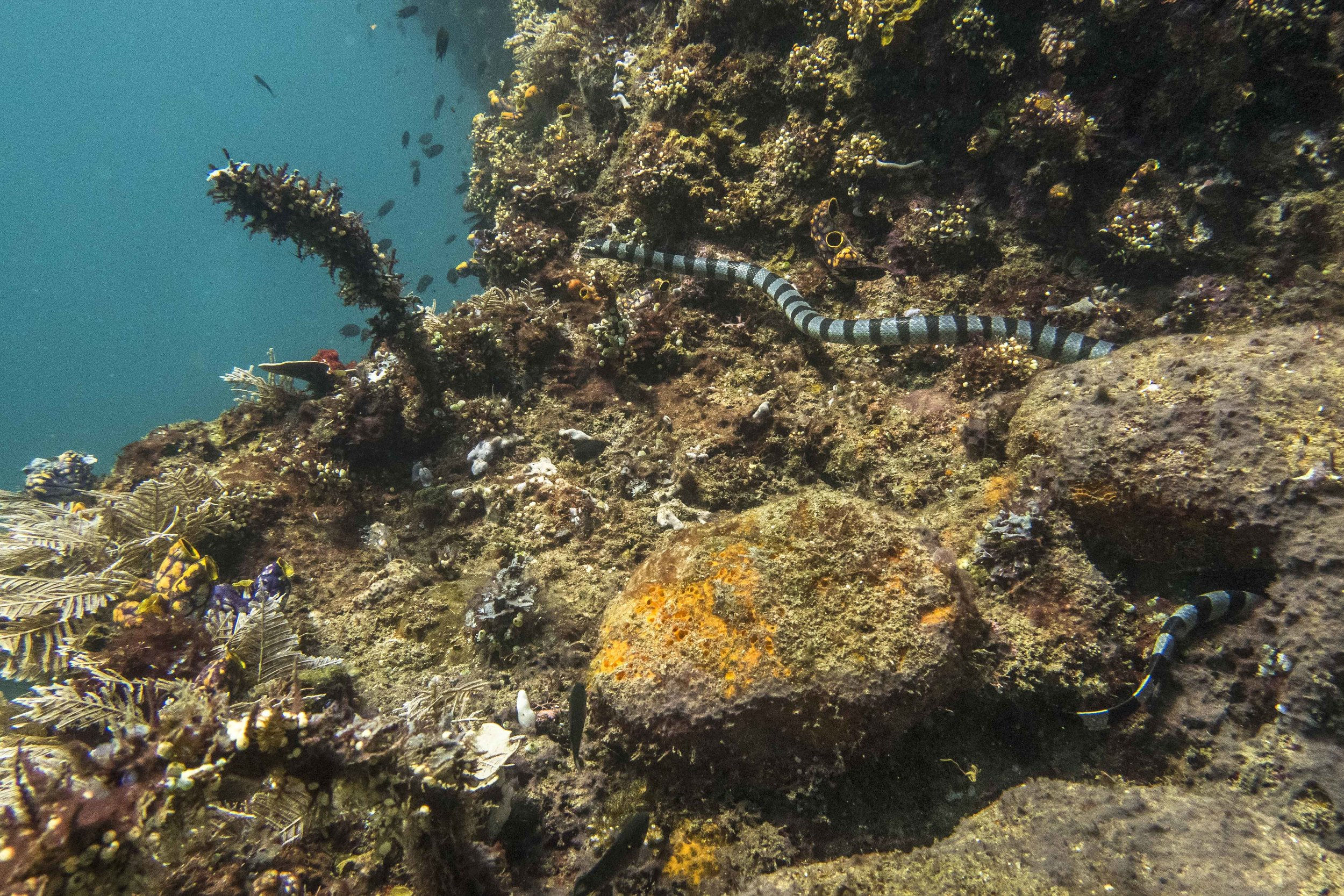 """yellow-lipped sea krait (Laticauda colubrina) - This snake, known more commonly as the banded sea krait, is a common presence in the waters of Raja Ampat Marine Park. Although they are known to be highly venomous, they rarely choose to attack humans, even when provoked. Despite the fact that it's a sea snake, this species spends a substantial part of its time on land or hunting in shallow waters along the shores and needs to occasionally find sources of fresh water for drinking. Banded sea kraits are widespread in the Western Pacific and Eastern Indian Oceans, and studies done in Fiji have shown that they develop an attachment to their """"home"""" islands to which they always return for mating, digesting and sloughing (skin shedding)."""