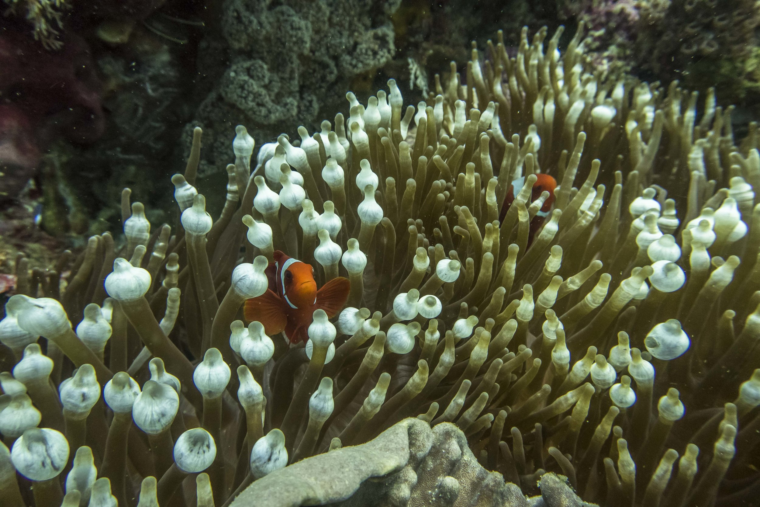 ocellaris clownfish (Amphiprion ocellaris) - Playing peek-a-boo with curious and territorial clownfish. We could fill an entire photo story just with pictures of clownfish in their beautiful sea anemones. Did you know that they are hermaphrodites and that males can become females as they mature?