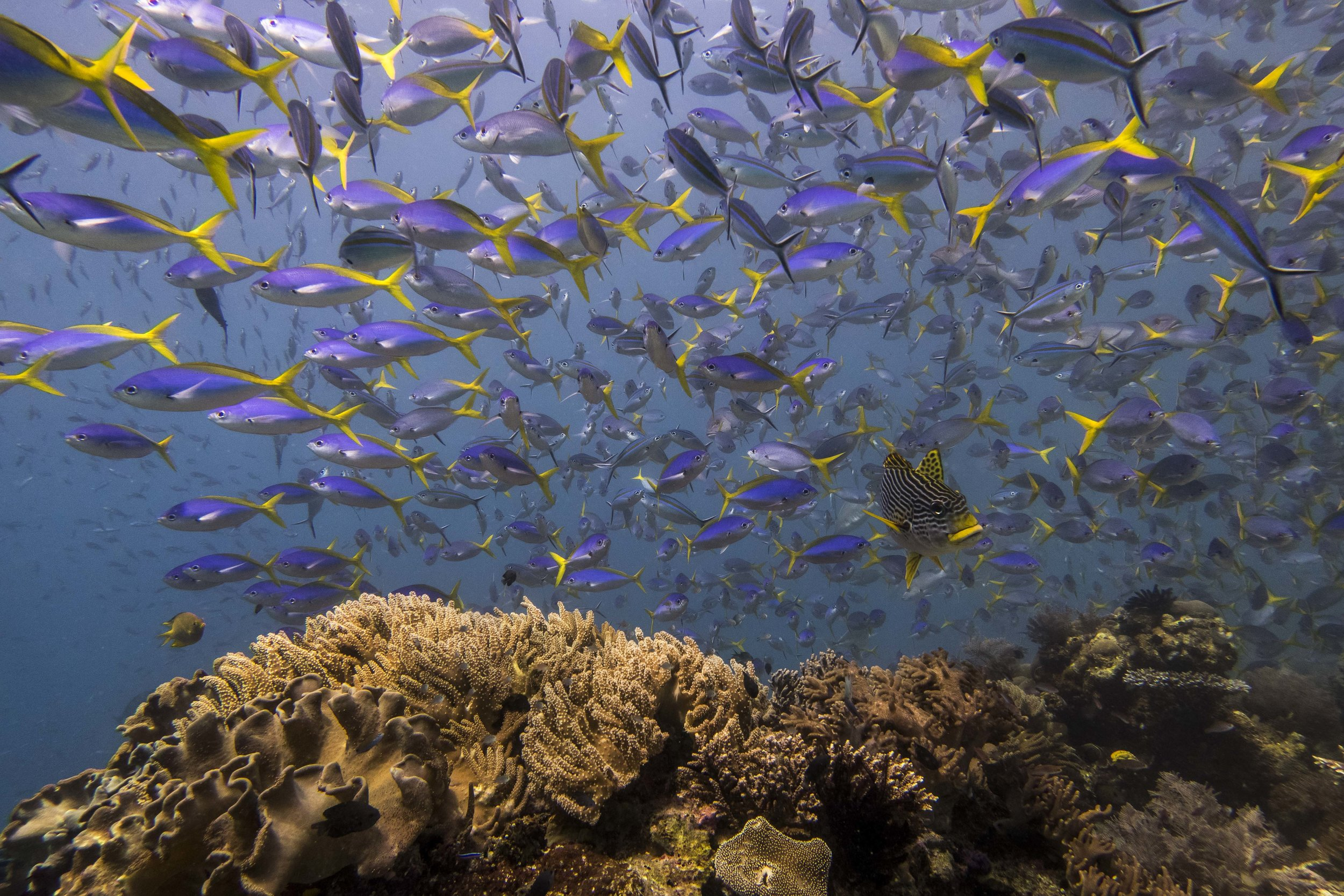 school of yellow and blueback fusilier (Caesio teres) - Yellow and blueback fusilier fish are colorful, medium-sized fish that feed on zooplankton. The intruder in the middle of them, with yellow thick lips, is an oblique-banded sweetlips.