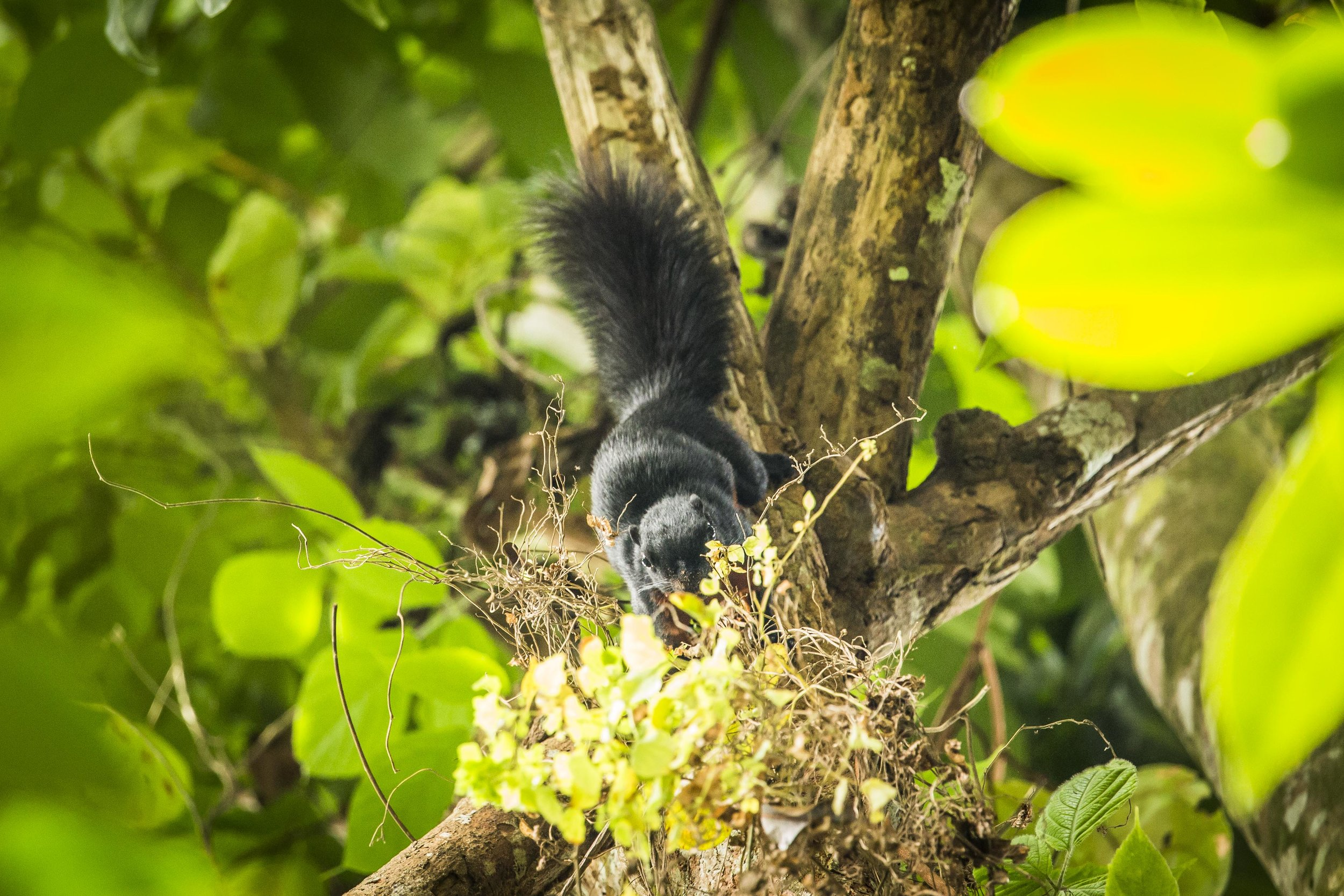 prevost's Squirrel (Callosciurus prevostii) - Although this squirrel might appear to look just like a black squirrel, the species has actually a very bright coloration: the underpart is a rusty red color surrounded by a band of white fur, while the back is charcoal black. This is the reason why they are also known as the Asian tri-colored squirrel. When they want to communicate with their own kind they emit a piercing whistle sound, and when they want to be left alone they do the typical squirrel trill. We were lucky to spot this squirrel for more than a few seconds during one of the hikes outside Ketambe, as they are skittish and you will mostly hear rather than see them up in the canopy.