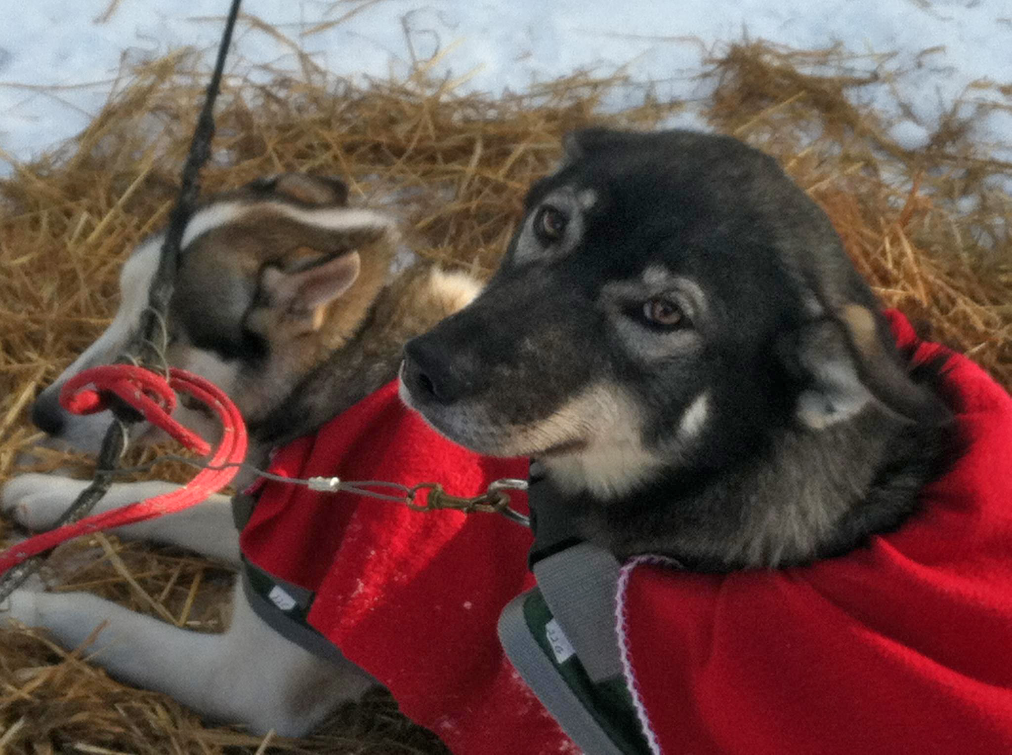 Sled dogs in red coats ( Shannon Miller )