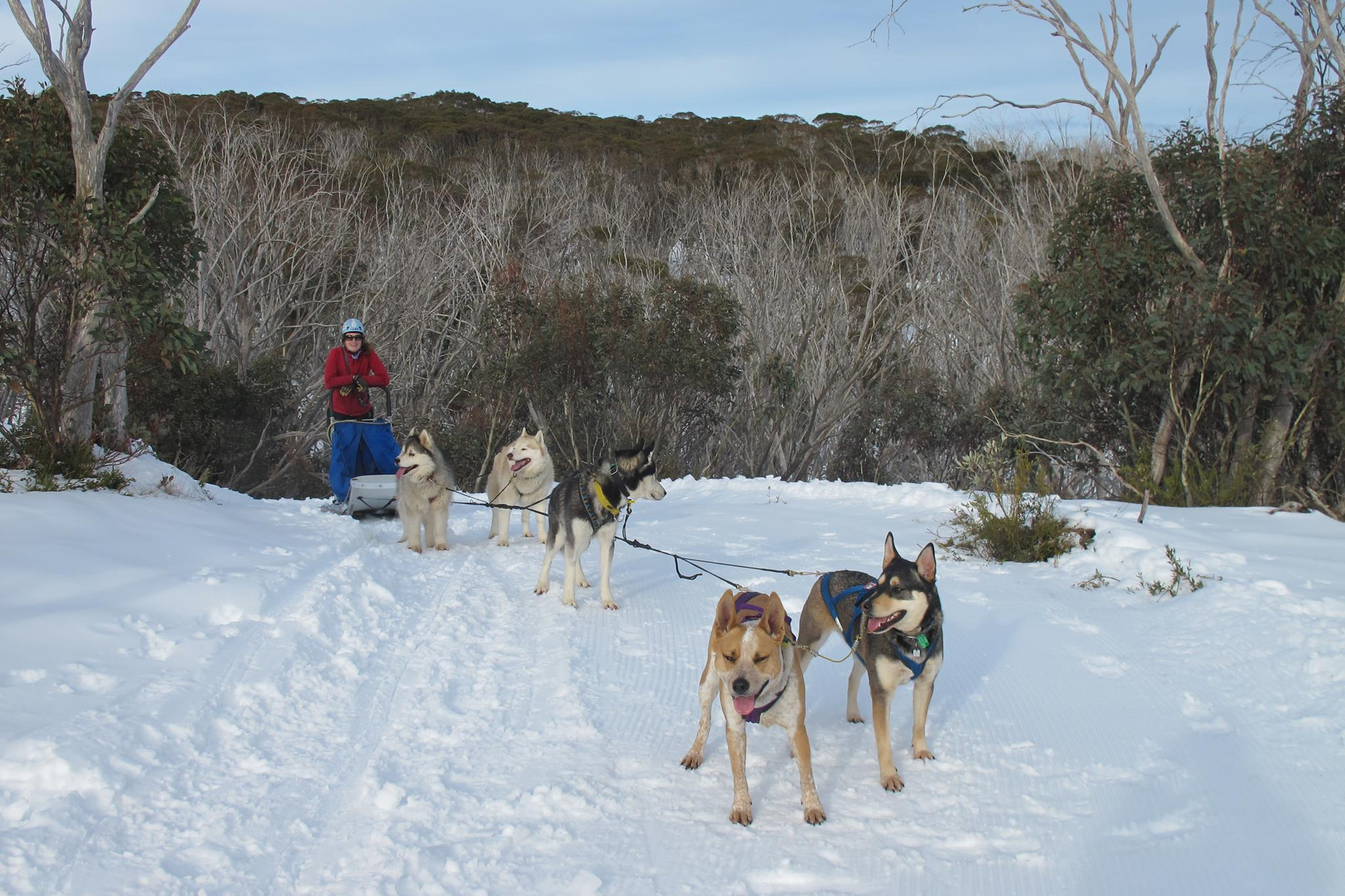 my mutts Twigs (black) and Trout (red) in lead position in the snow gums of Australia!