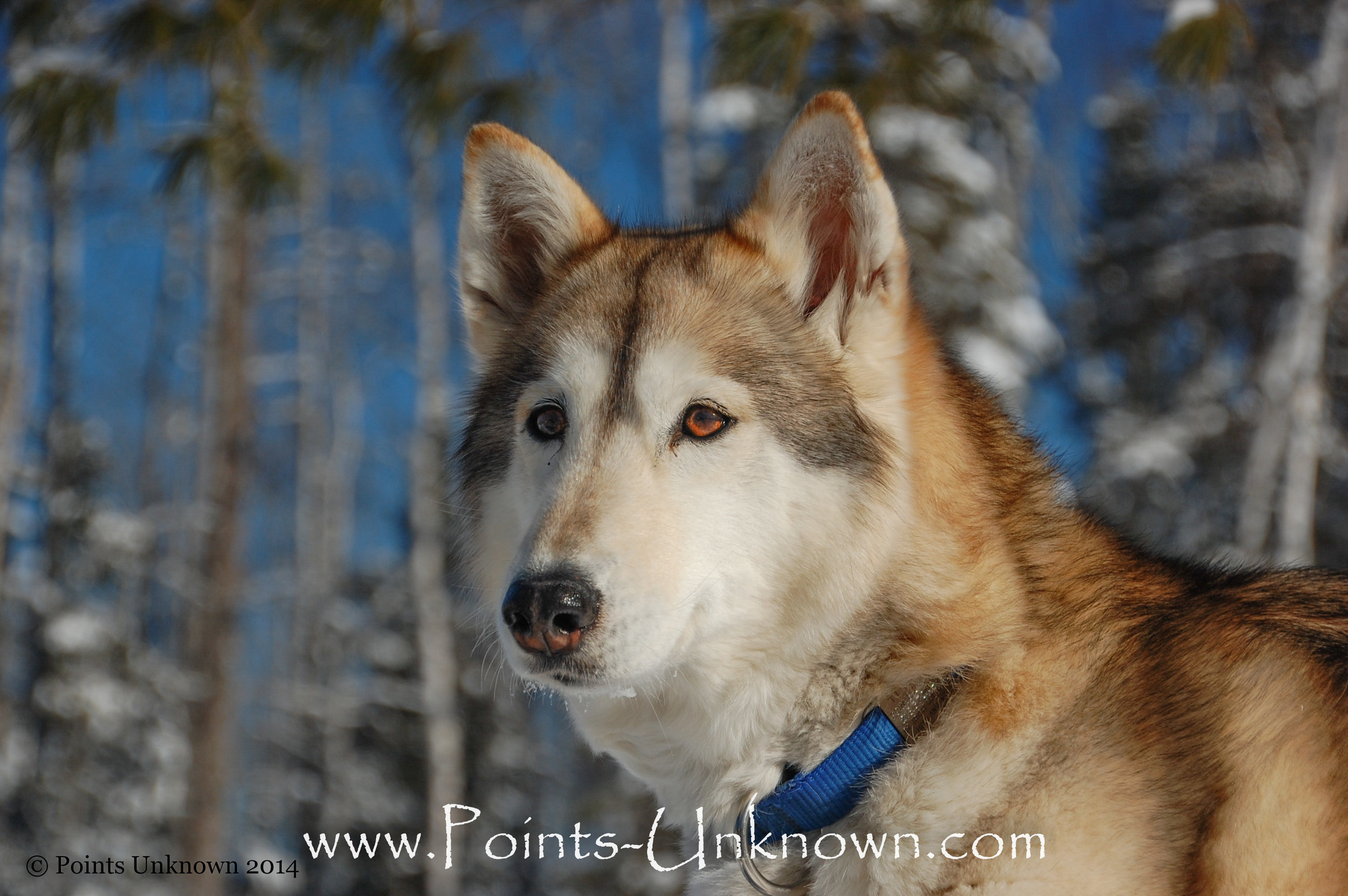 Newman's dog Tuloon, who was her first Hedlund Husky. Originally, Newman flew to Alaska in 2004 to retrieve Tuloon's brother, but Tuloon had other ideas and picked Newman for her own