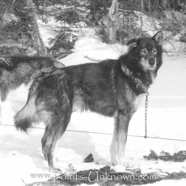 Newman's beloved lead dog, Zulu, staked out on a drop chain. Drop chains are used in camp outs to secure dogs temporarily during back country trips. Drop chains are also used for short periods to secure dogs before and after hook ups to the gangline, the main line that attached to the sled
