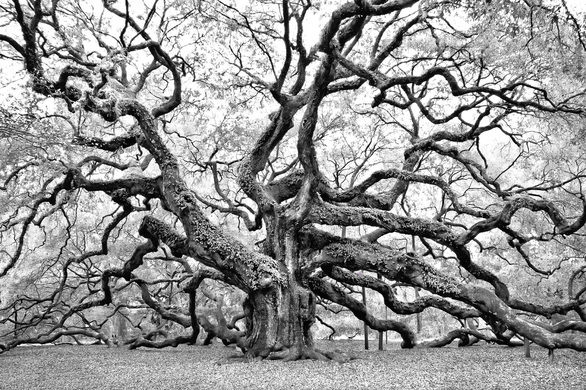 PC: Colby Chester Photography - Angel Oak in Charleston, SC