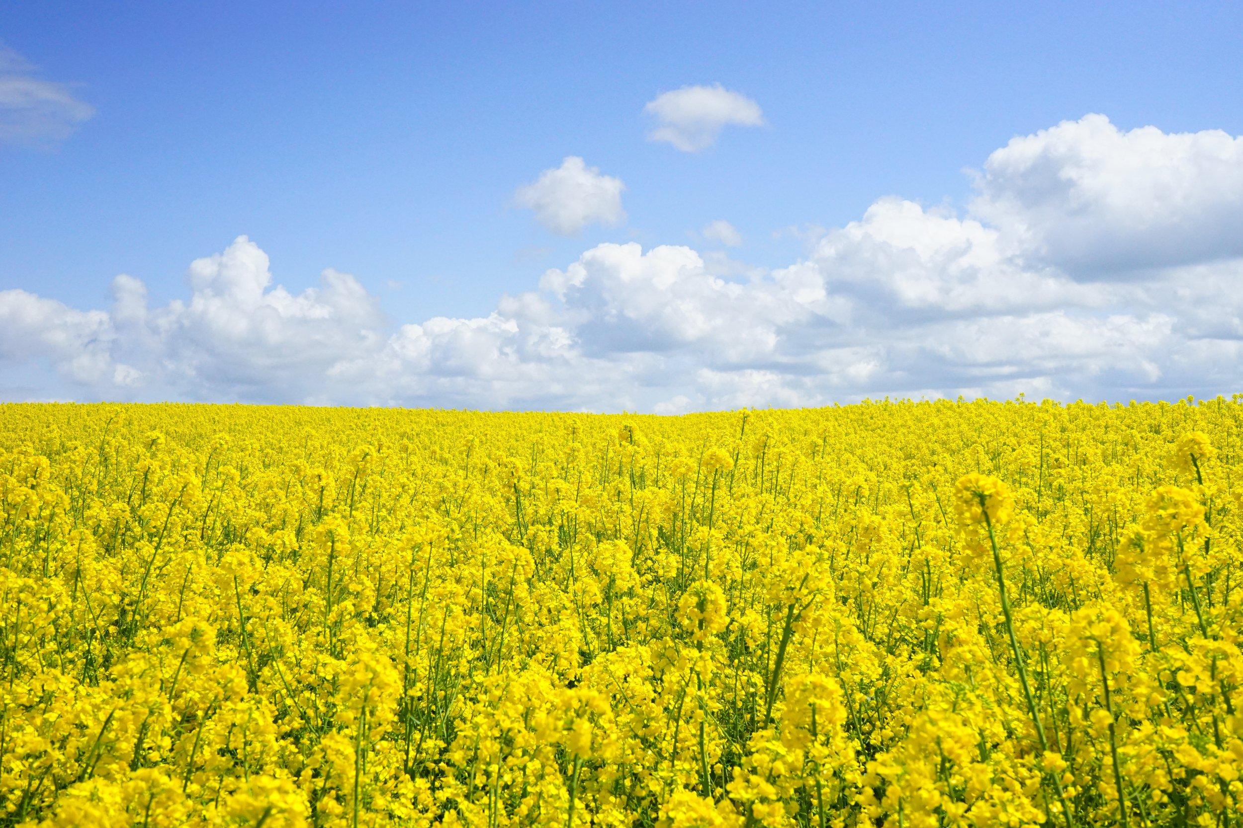 field-of-rapeseeds-oilseed-rape-blutenmeer-yellow-46164.jpeg