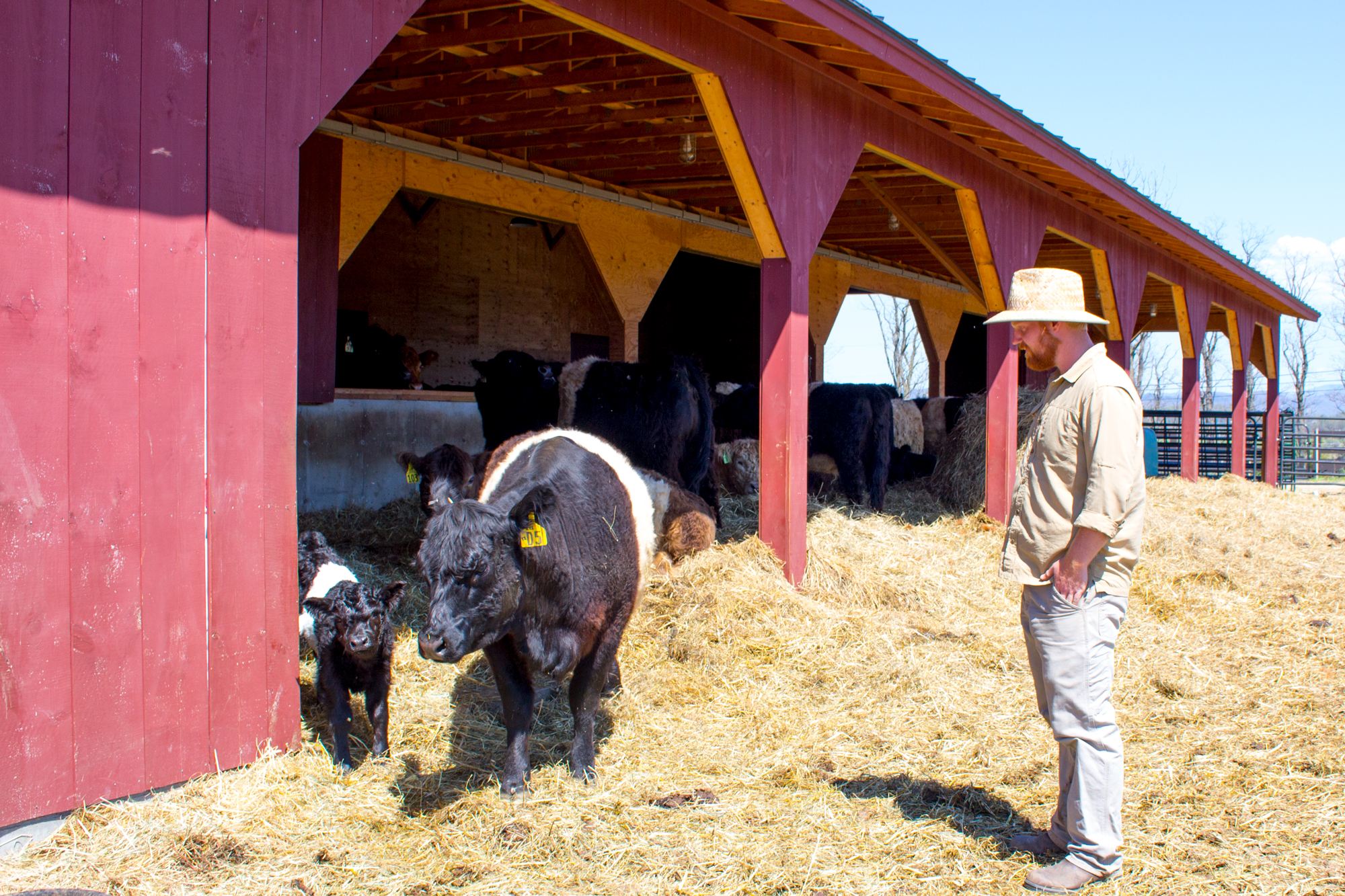 The cattle at Philo Ridge Farm eager to get out of the Pack Barn and into green pasture on a warm spring day.