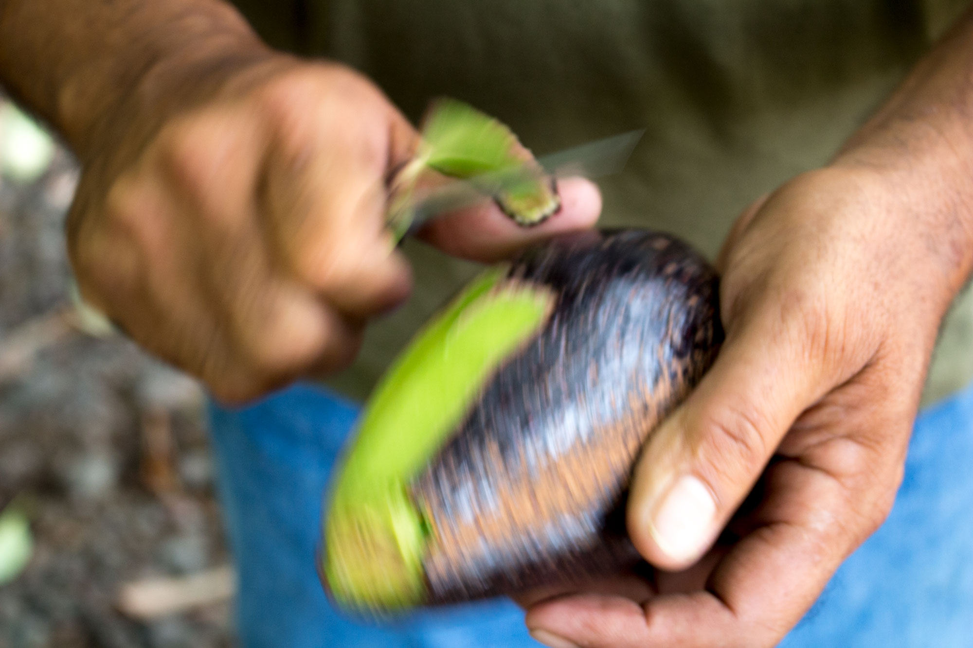 Grabbing a snack right off an avocado tree on the Big Island in Hawaii