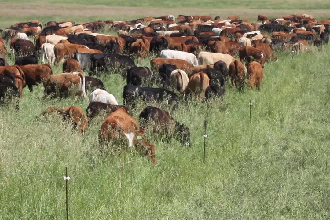Mob grazing at Hana Ranch on Maui