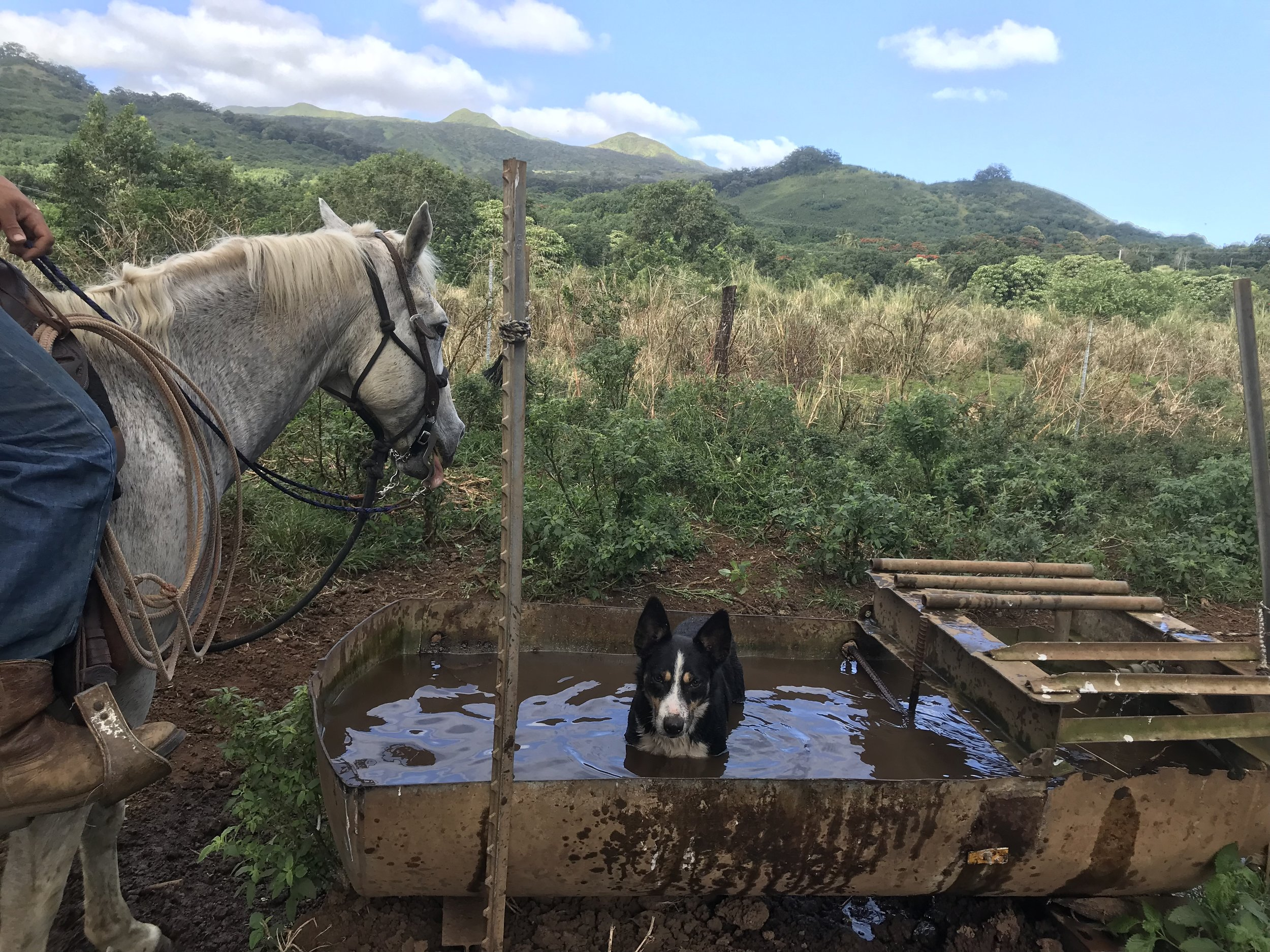 A cattle dog getting creative at cooling off at Hana Ranch.