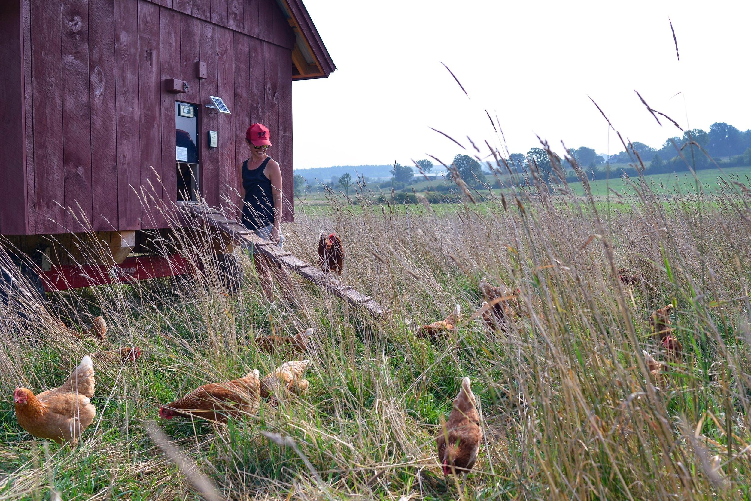 Chickens at Philo Ridge Farm in Vermont.