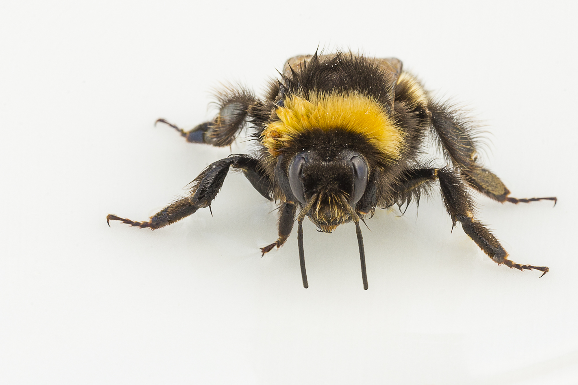 resting bee but now wide awake - he is sitting on a small white plate with some sugar solution on it.