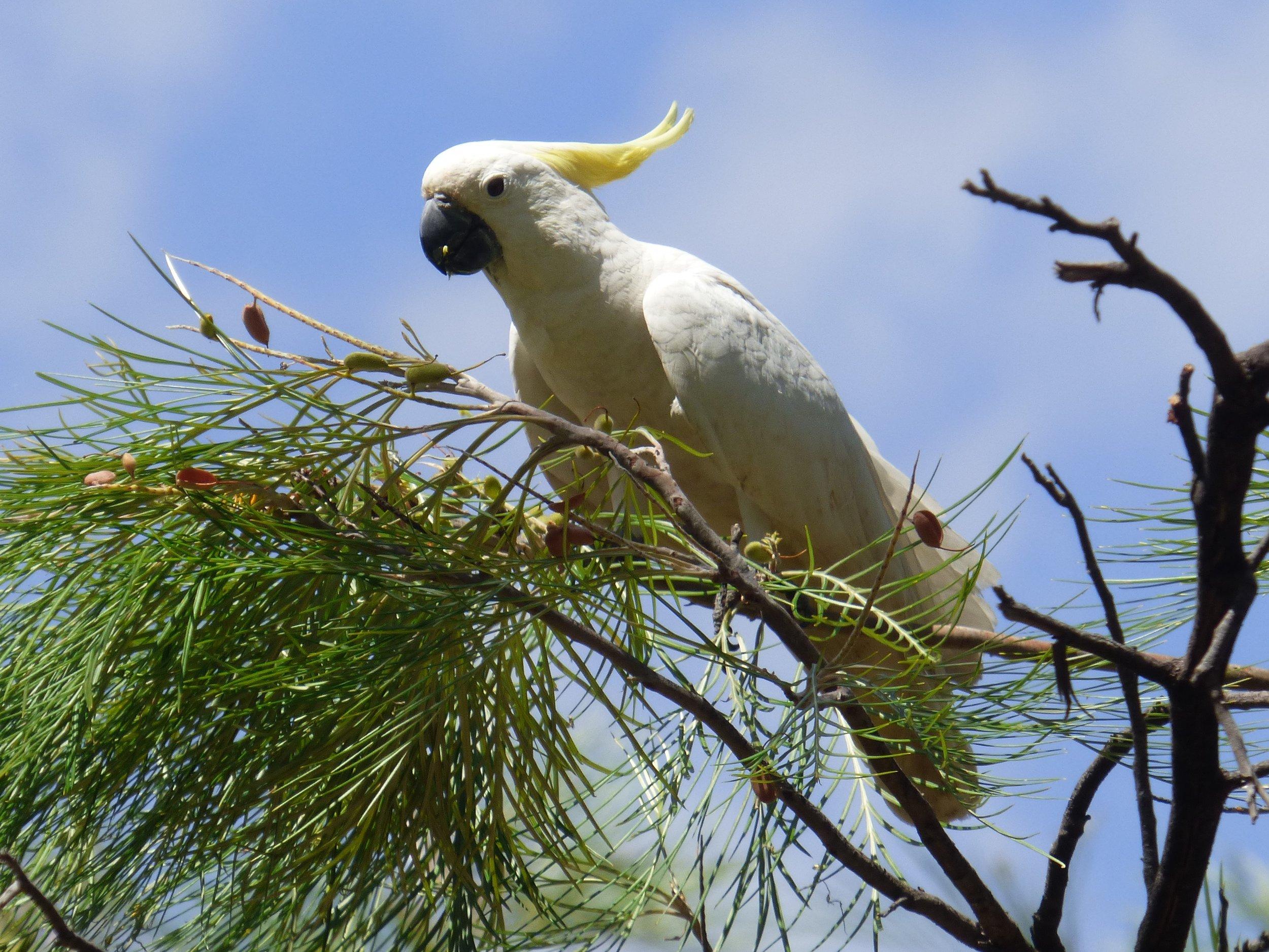 sulphur-crested-cockatoo2.jpg