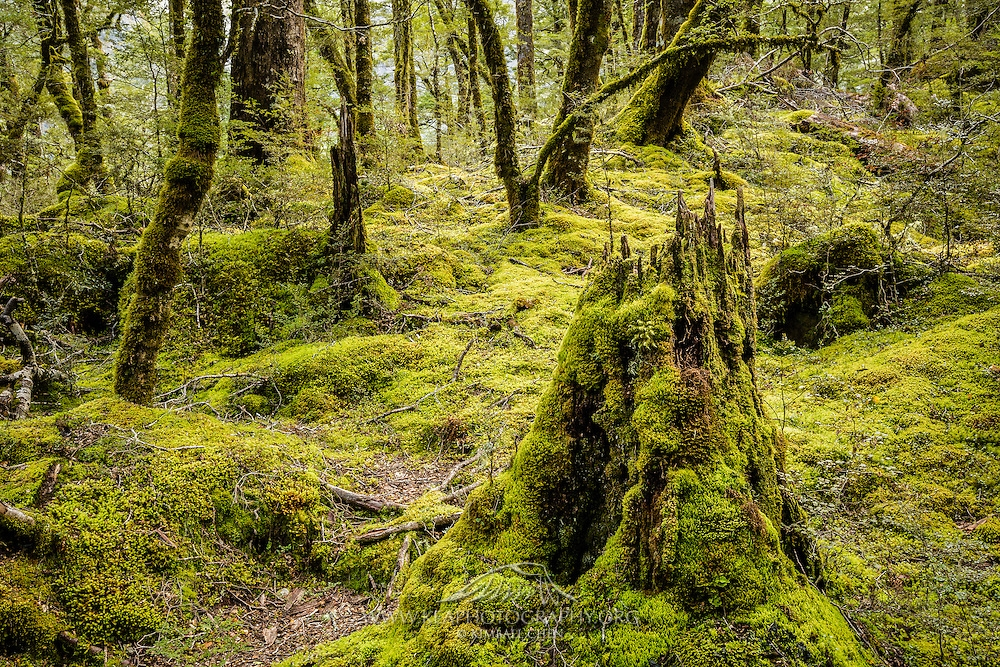 Routeburn-Track-forest-06-H7C9307.jpg