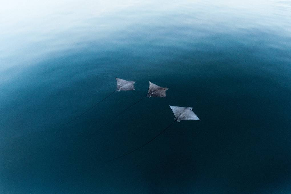 spotted-eagle-rays-great-barrier-reef-queensland-australia-conde-nast-traveller-16april18-alistair-taylor-young.jpg