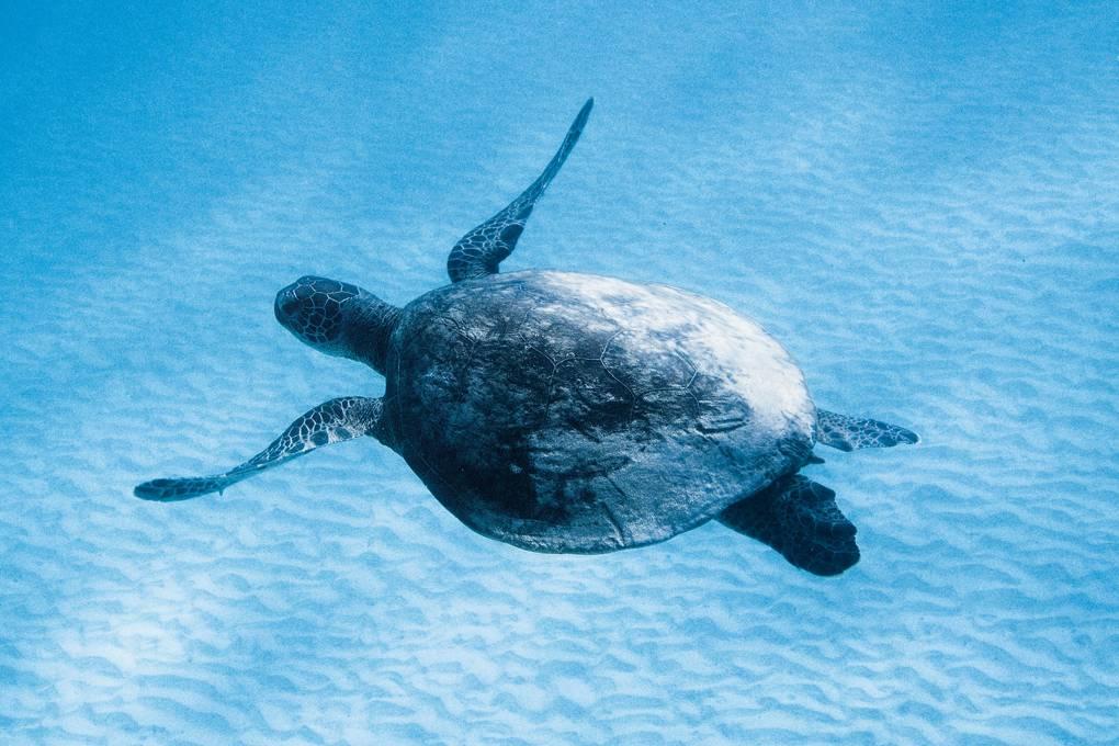 green-turtle-the-blue-lagoon-ningaloo-reef-australia-conde-nast-traveller-raymond-patrick-16april18.jpg