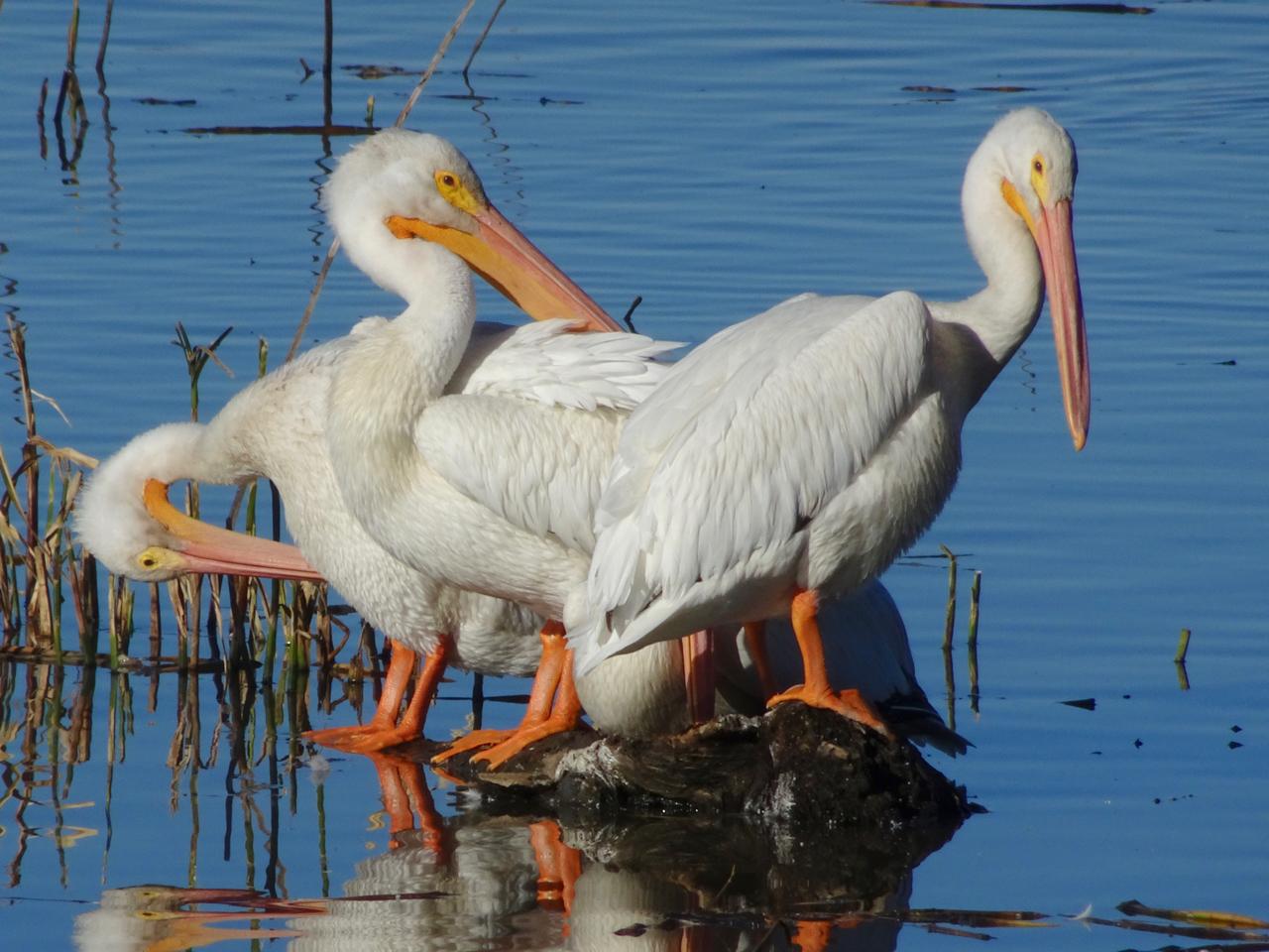 Squaw_Creek_Pelicans.jpg