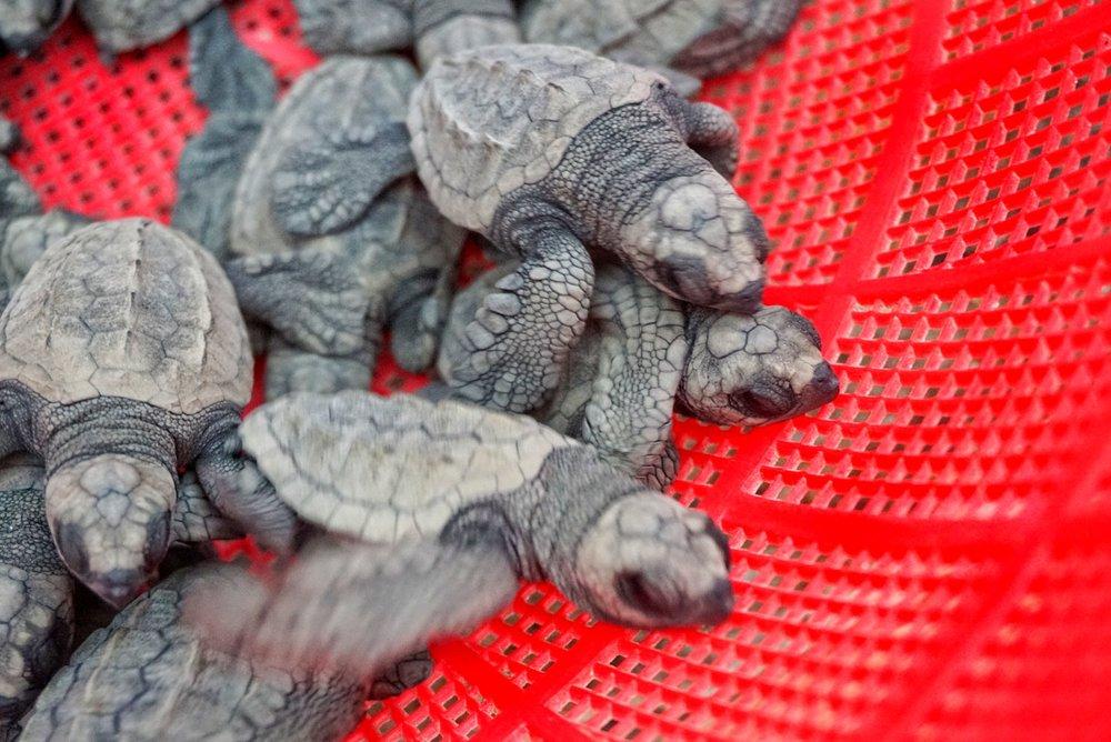 Sayulita Turtles.jpg