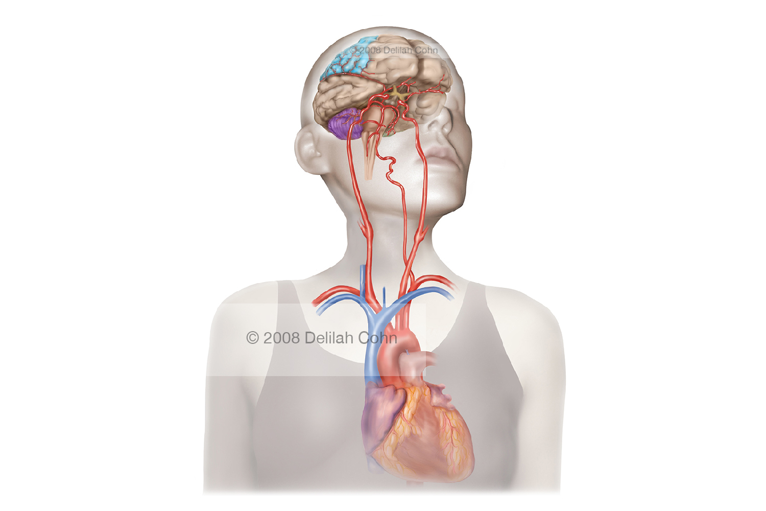 Blood Circulation from the Heart to the Brain