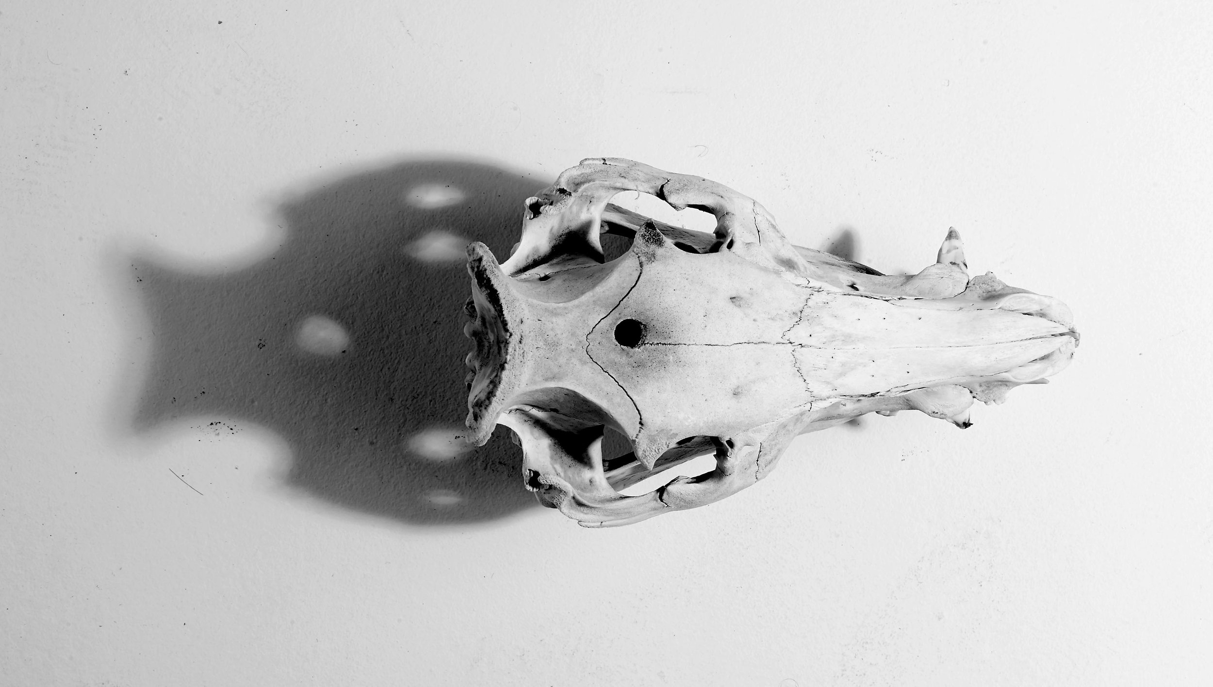 The first pig that was used to make our house made charcuterie - this is a photograph of the skull
